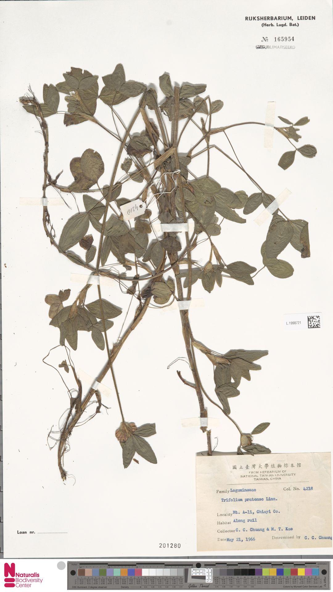 L.1998721 | Trifolium pratense L.
