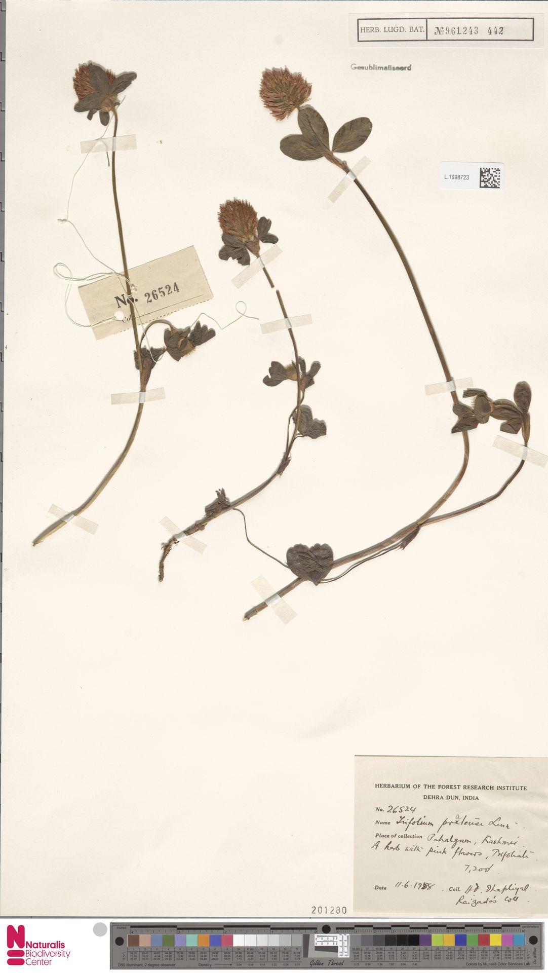 L.1998723 | Trifolium pratense L.