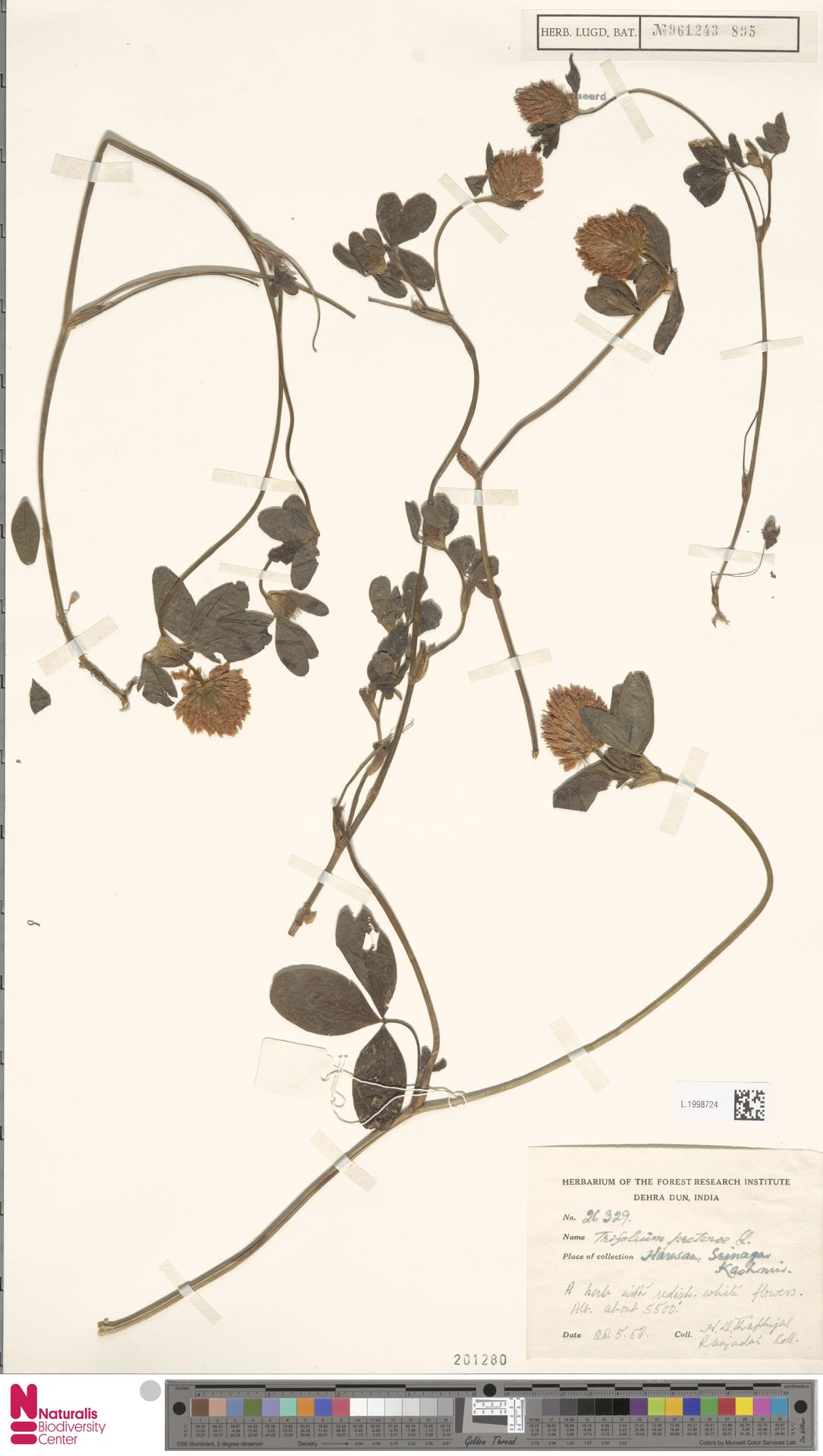 L.1998724   Trifolium pratense L.