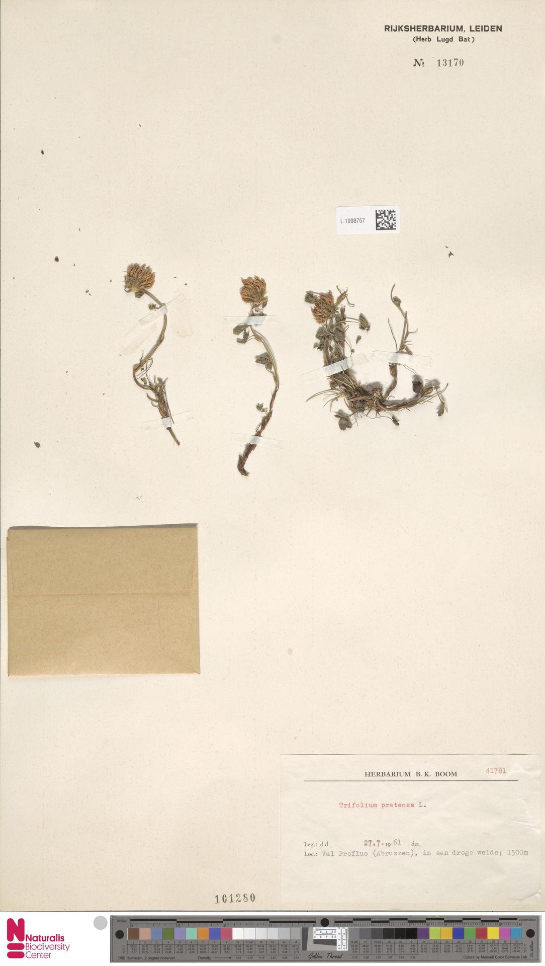 L.1998757 | Trifolium pratense L.