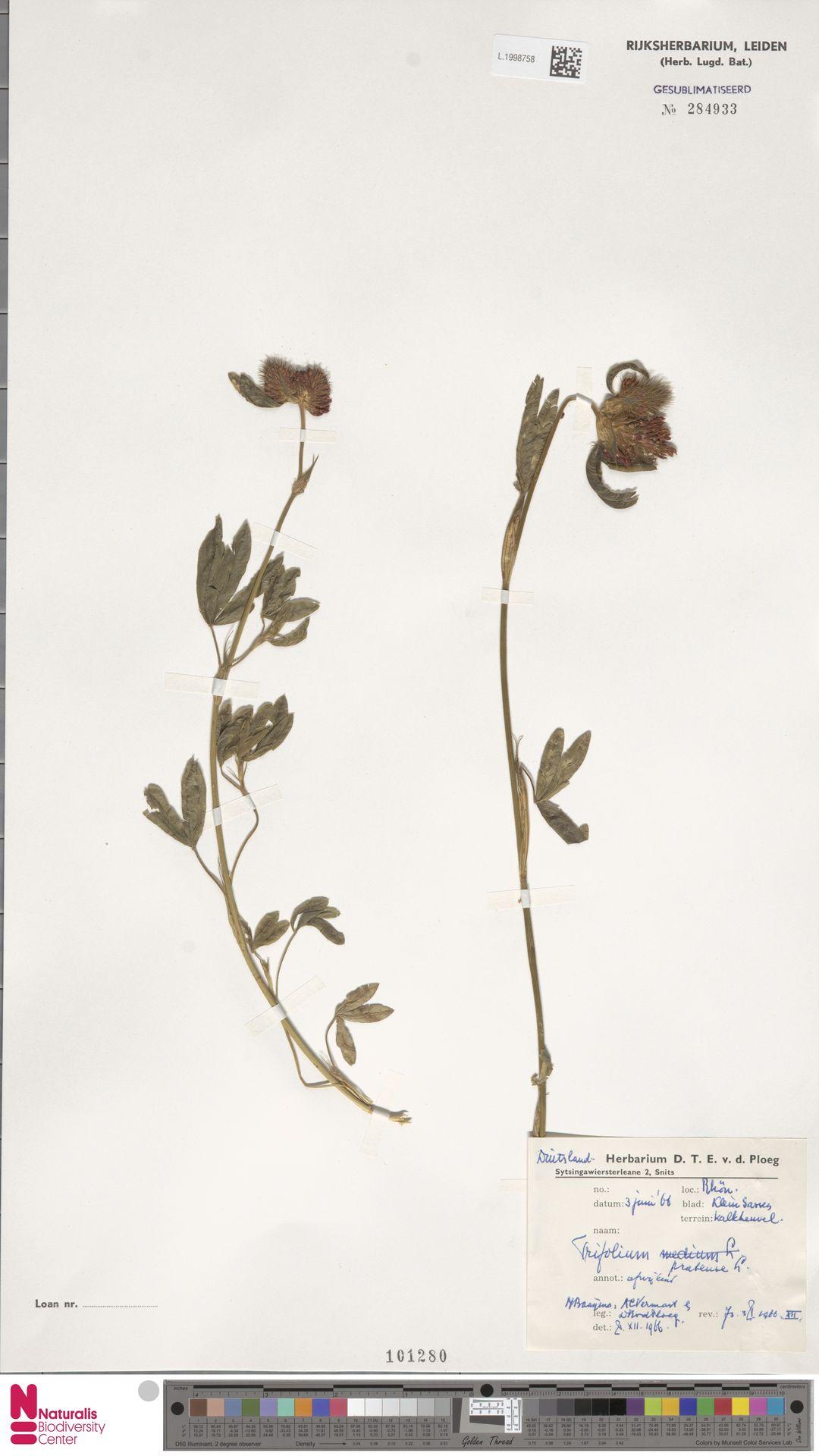 L.1998758 | Trifolium pratense L.
