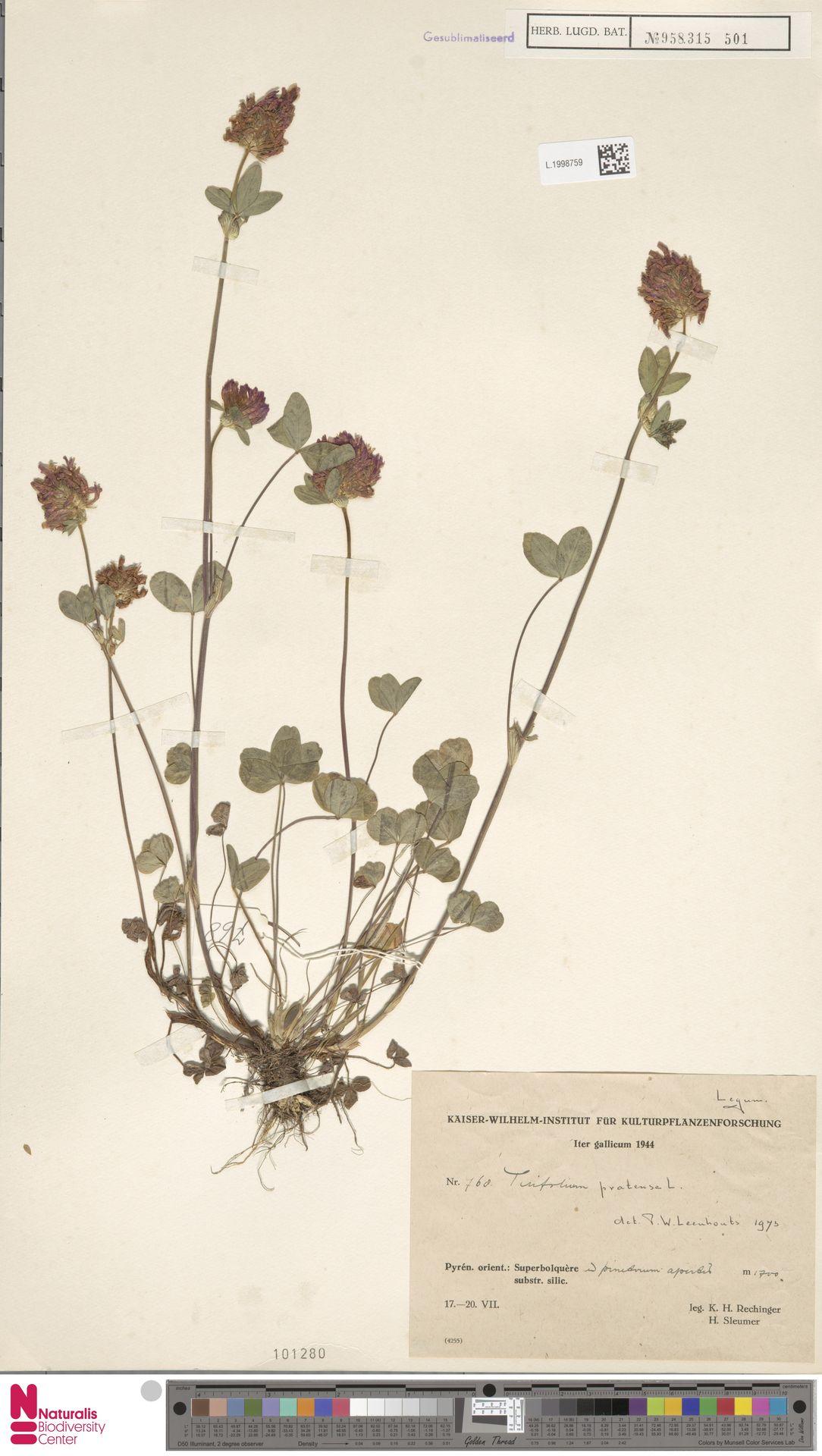 L.1998759 | Trifolium pratense L.