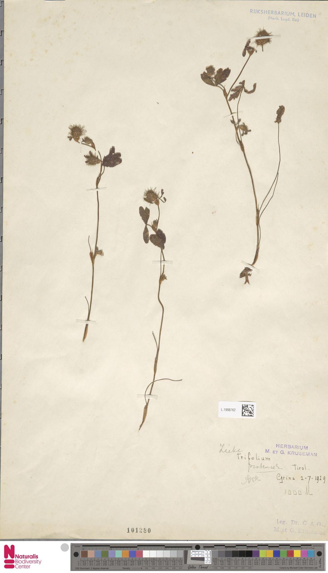 L.1998762 | Trifolium pratense L.