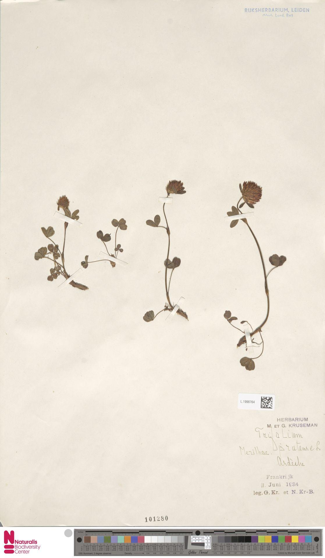 L.1998764   Trifolium pratense L.