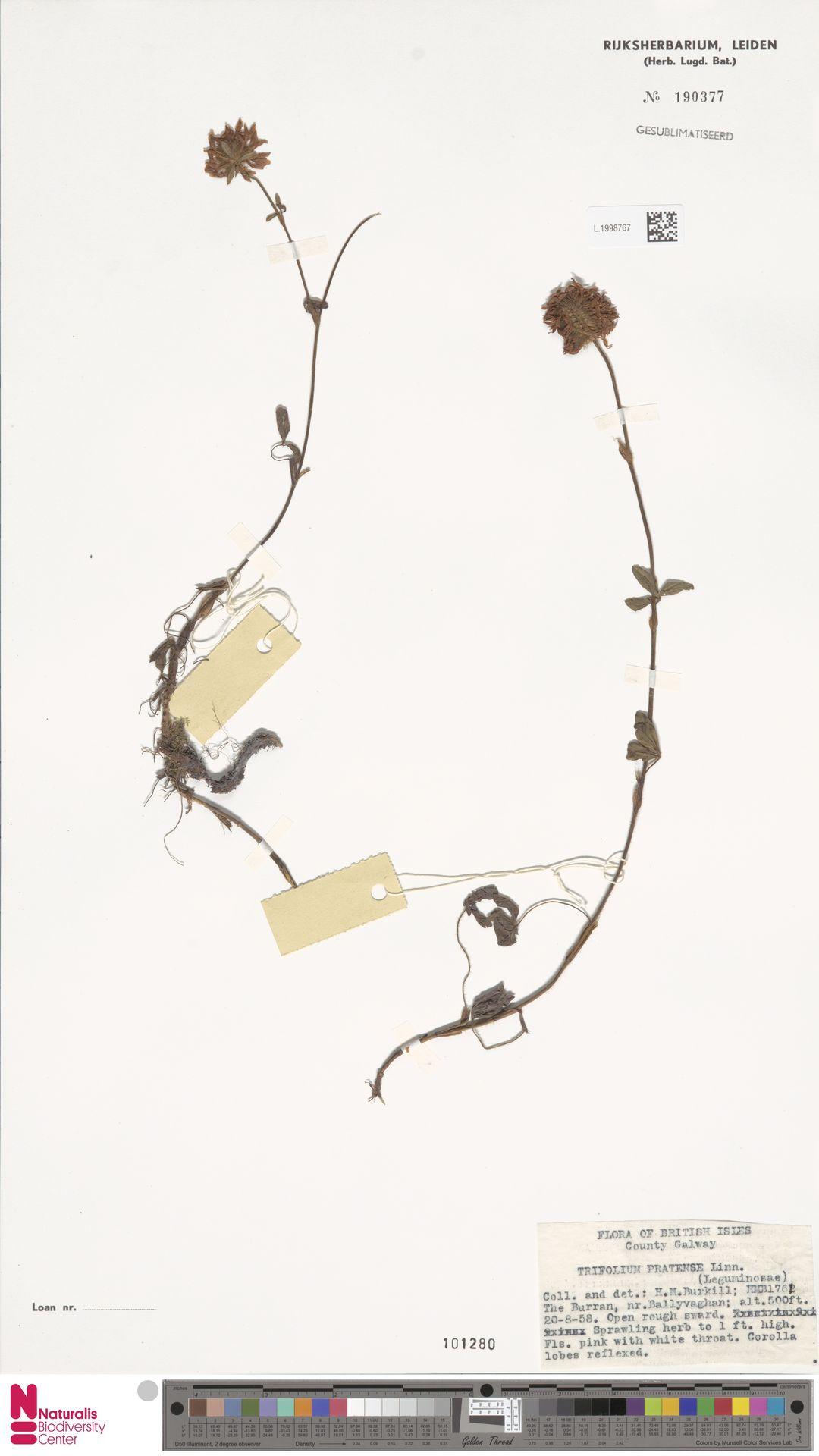 L.1998767 | Trifolium pratense L.