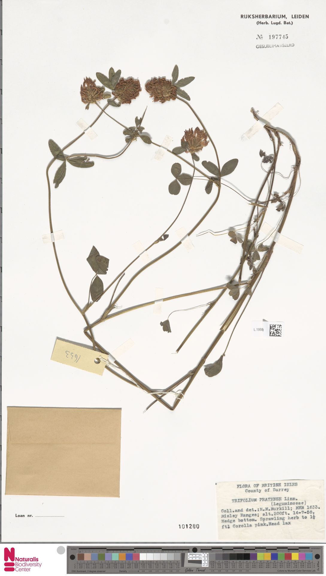 L.1998768   Trifolium pratense L.