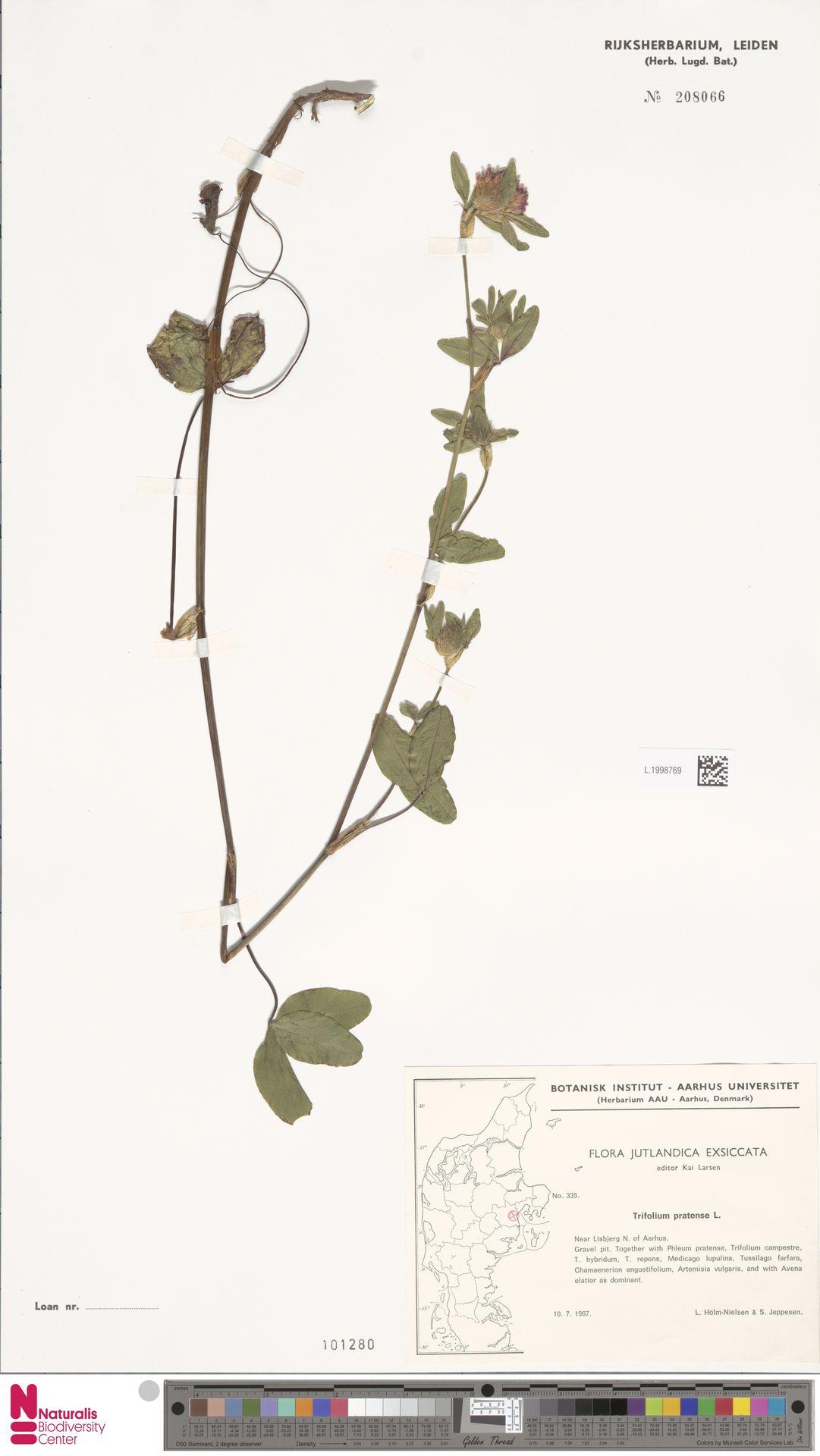 L.1998769 | Trifolium pratense L.