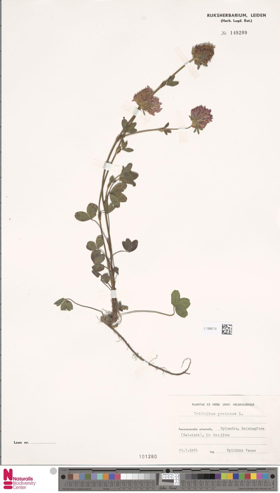 L.1998770 | Trifolium pratense L.