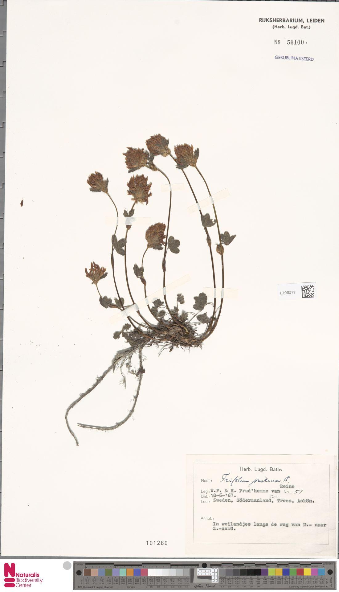 L.1998771 | Trifolium pratense L.
