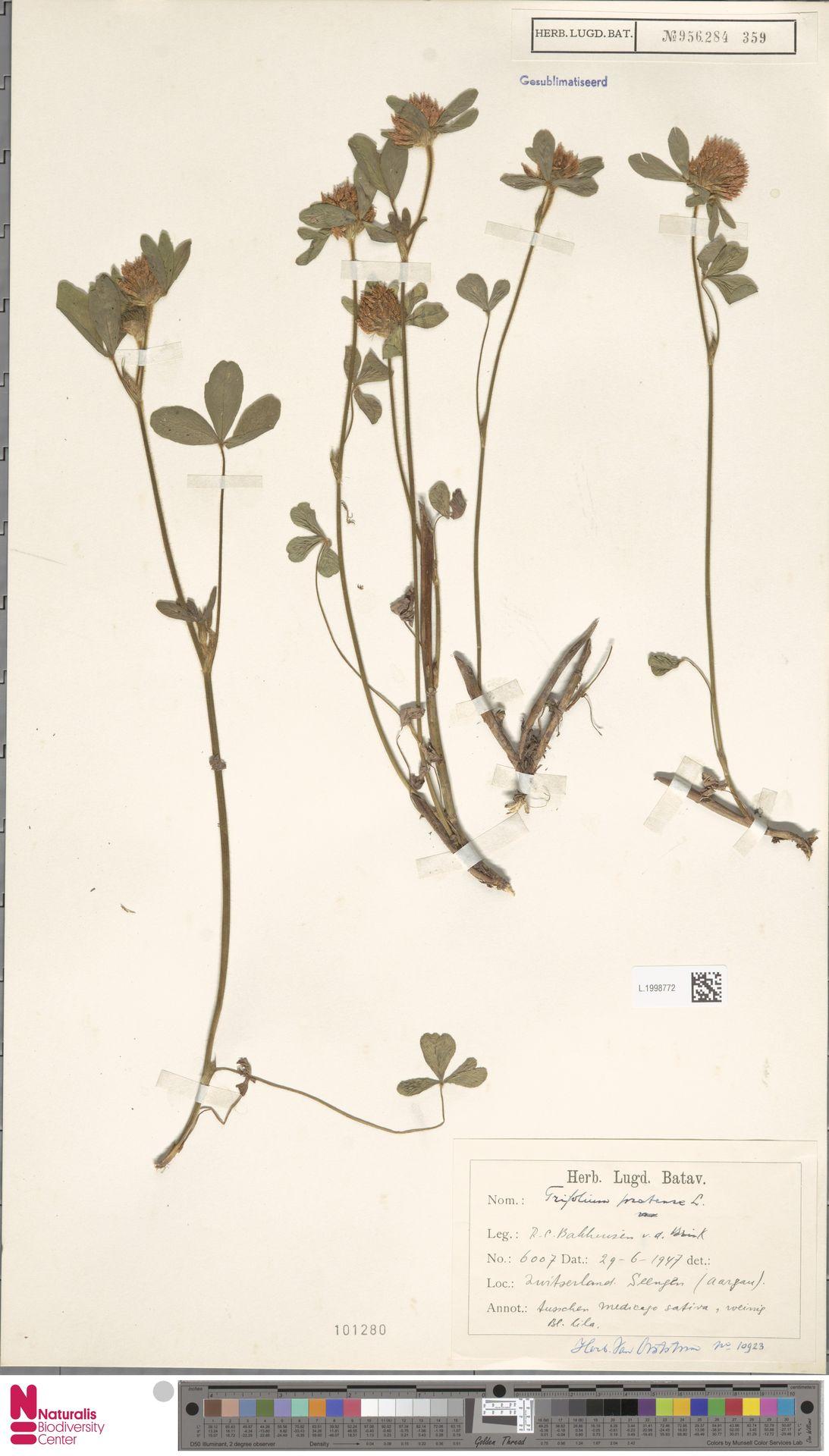 L.1998772   Trifolium pratense L.