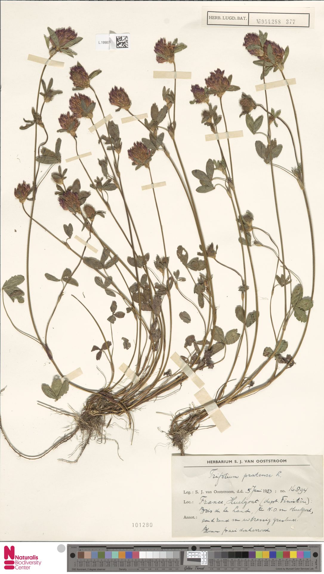 L.1998773 | Trifolium pratense L.