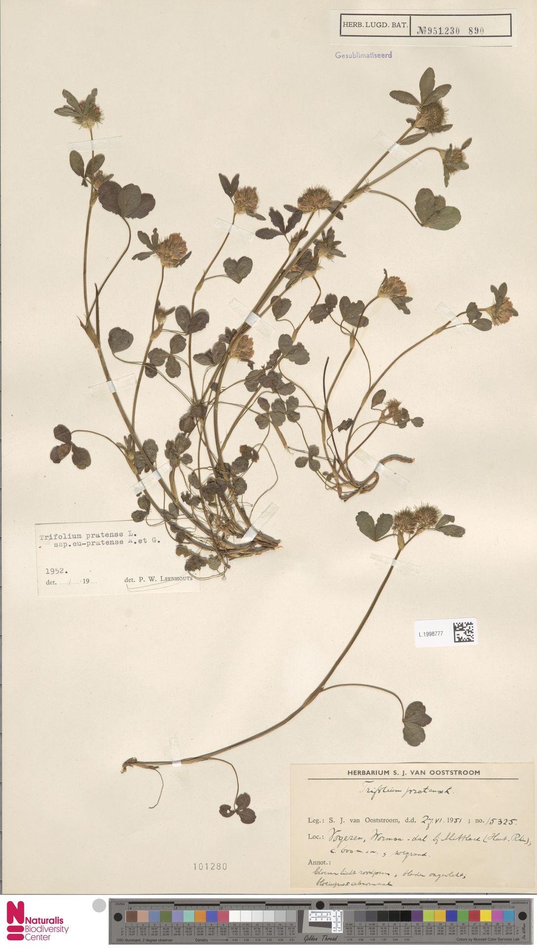L.1998777 | Trifolium pratense L.