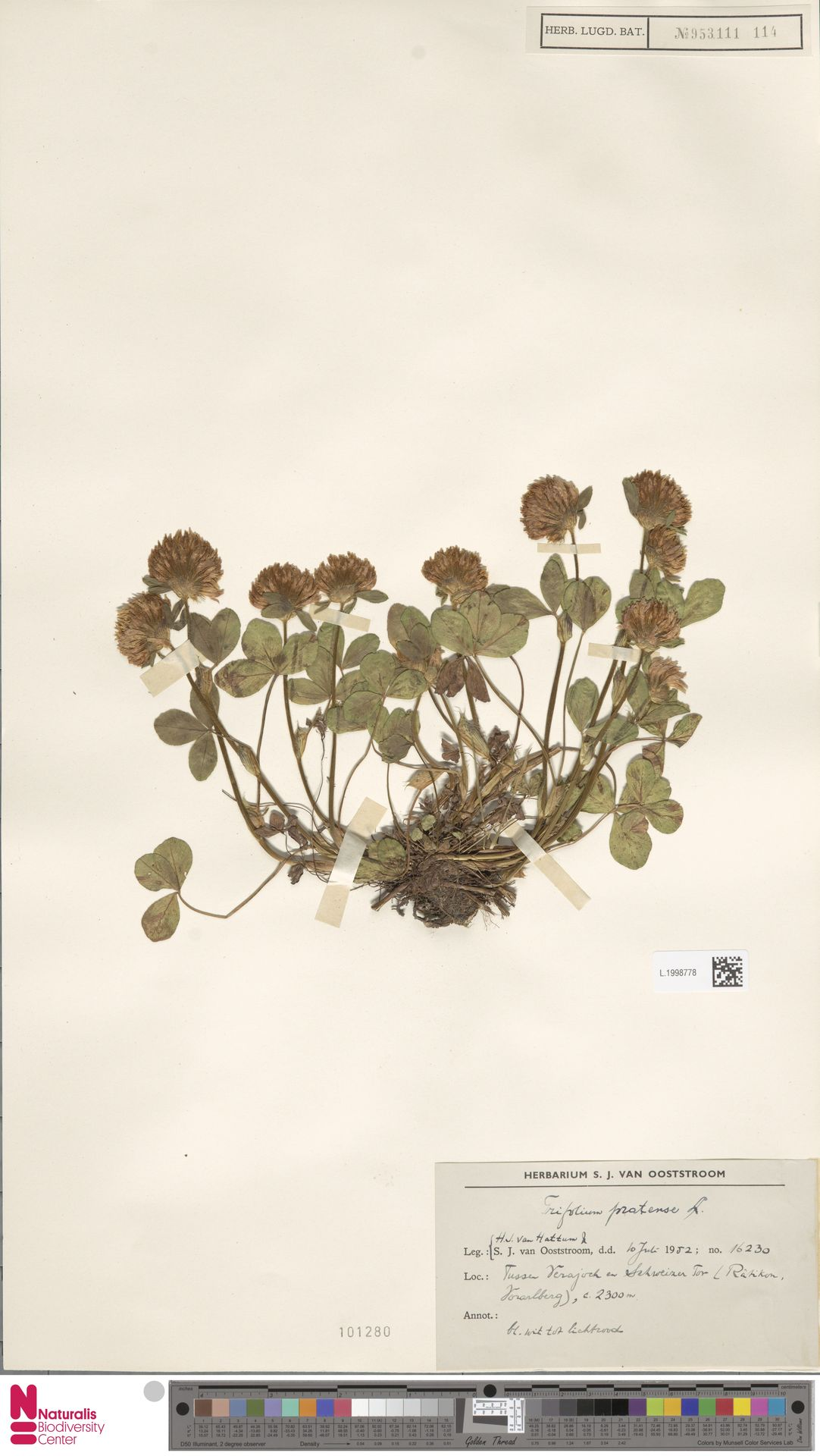 L.1998778 | Trifolium pratense L.