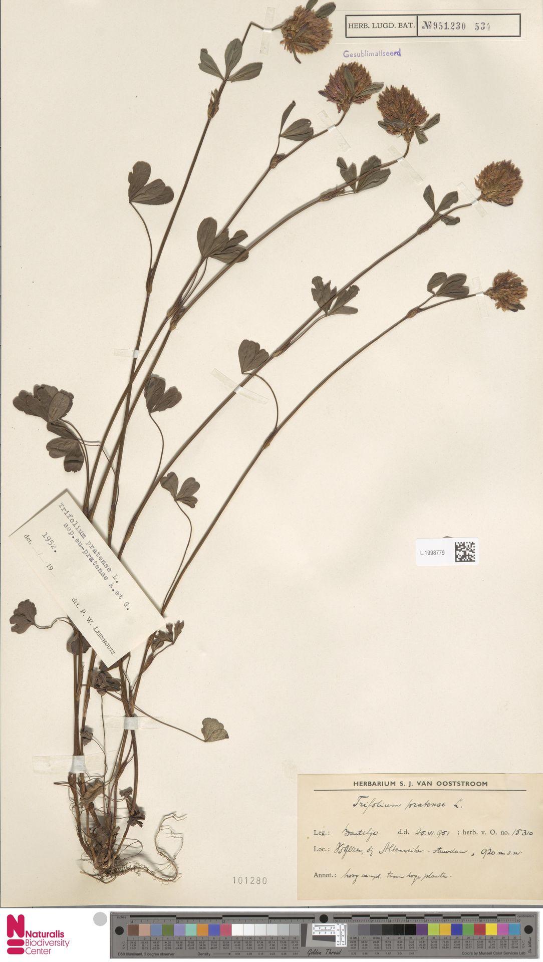 L.1998779 | Trifolium pratense L.