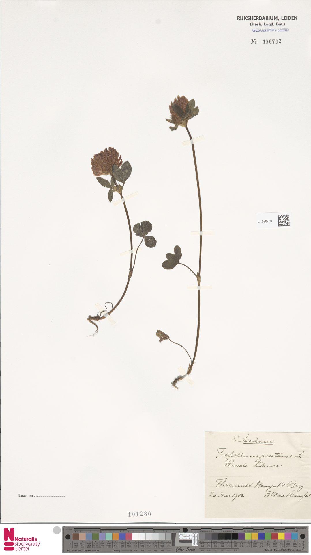 L.1998783 | Trifolium pratense L.