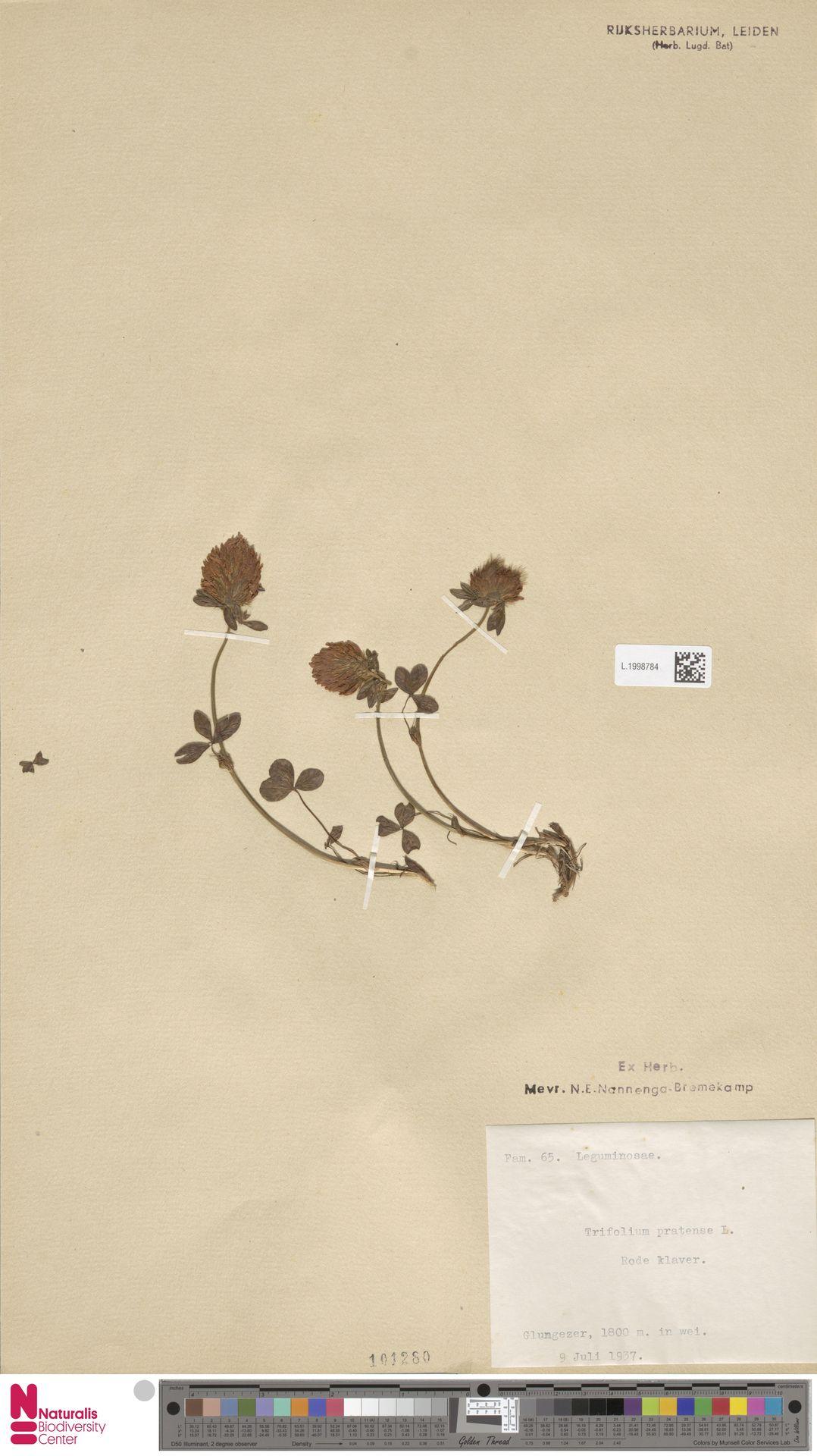 L.1998784 | Trifolium pratense L.