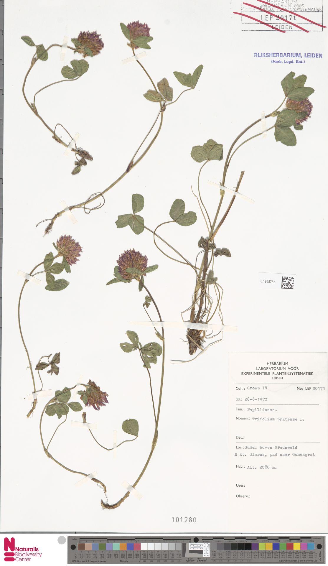 L.1998787 | Trifolium pratense L.