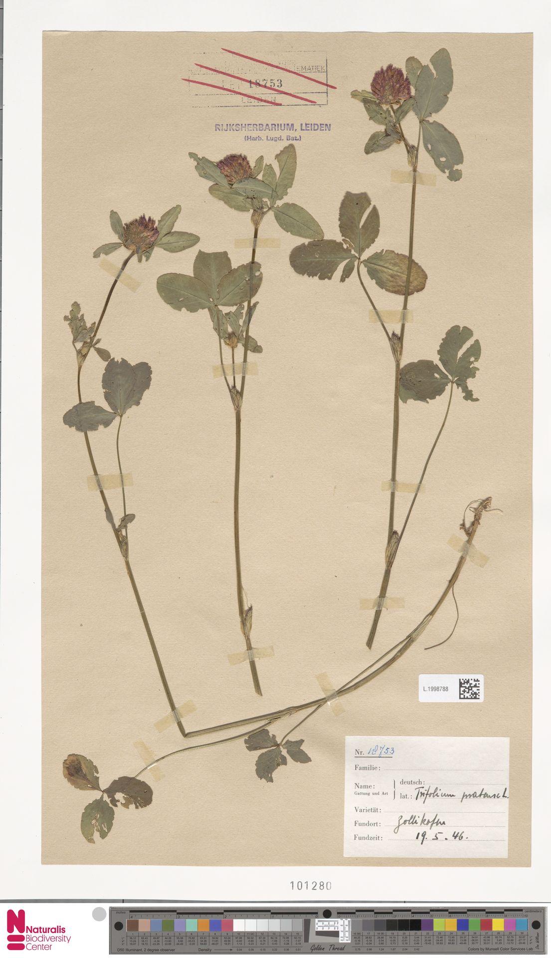 L.1998788 | Trifolium pratense L.