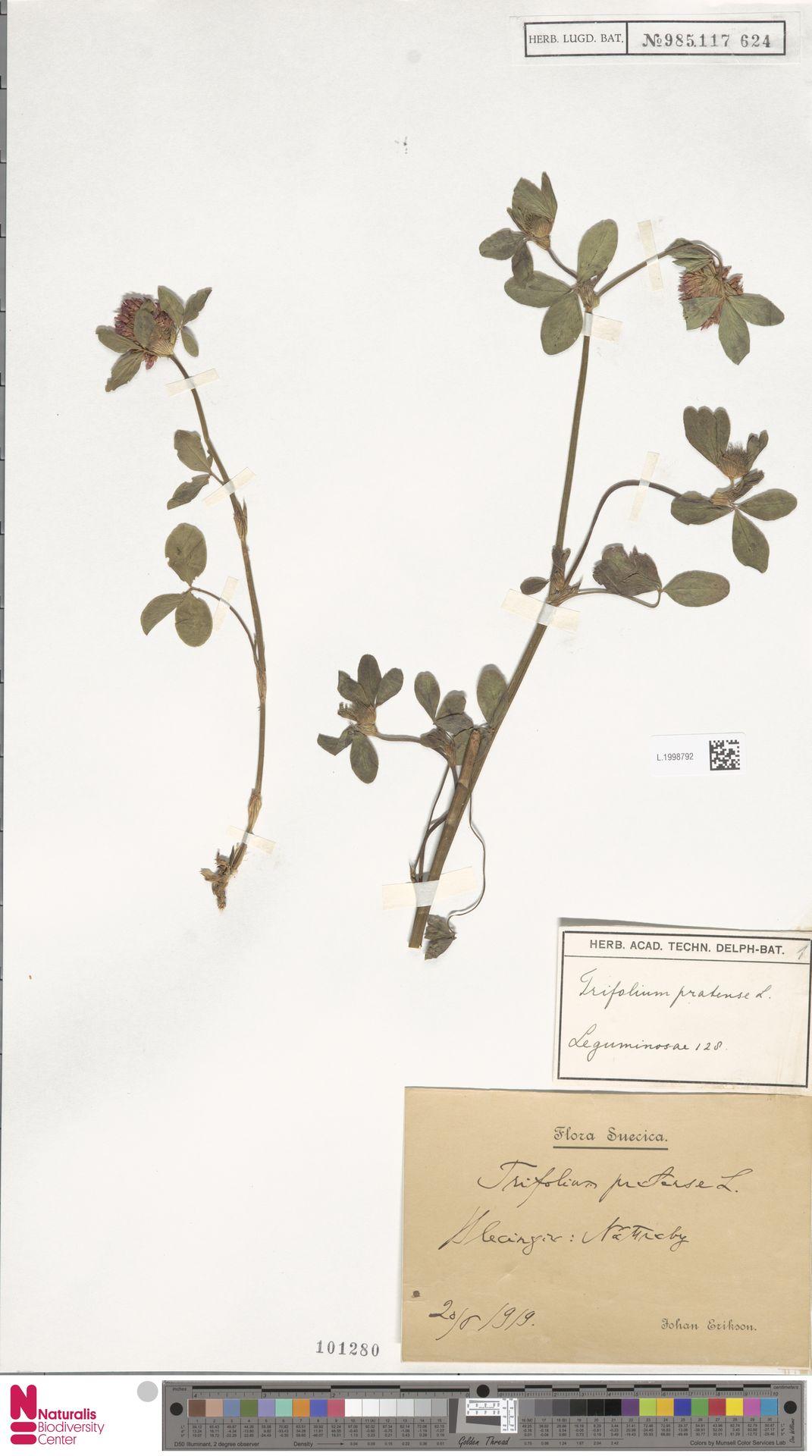 L.1998792 | Trifolium pratense L.