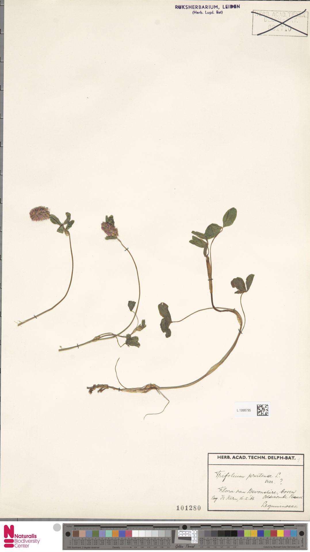 L.1998795 | Trifolium pratense L.