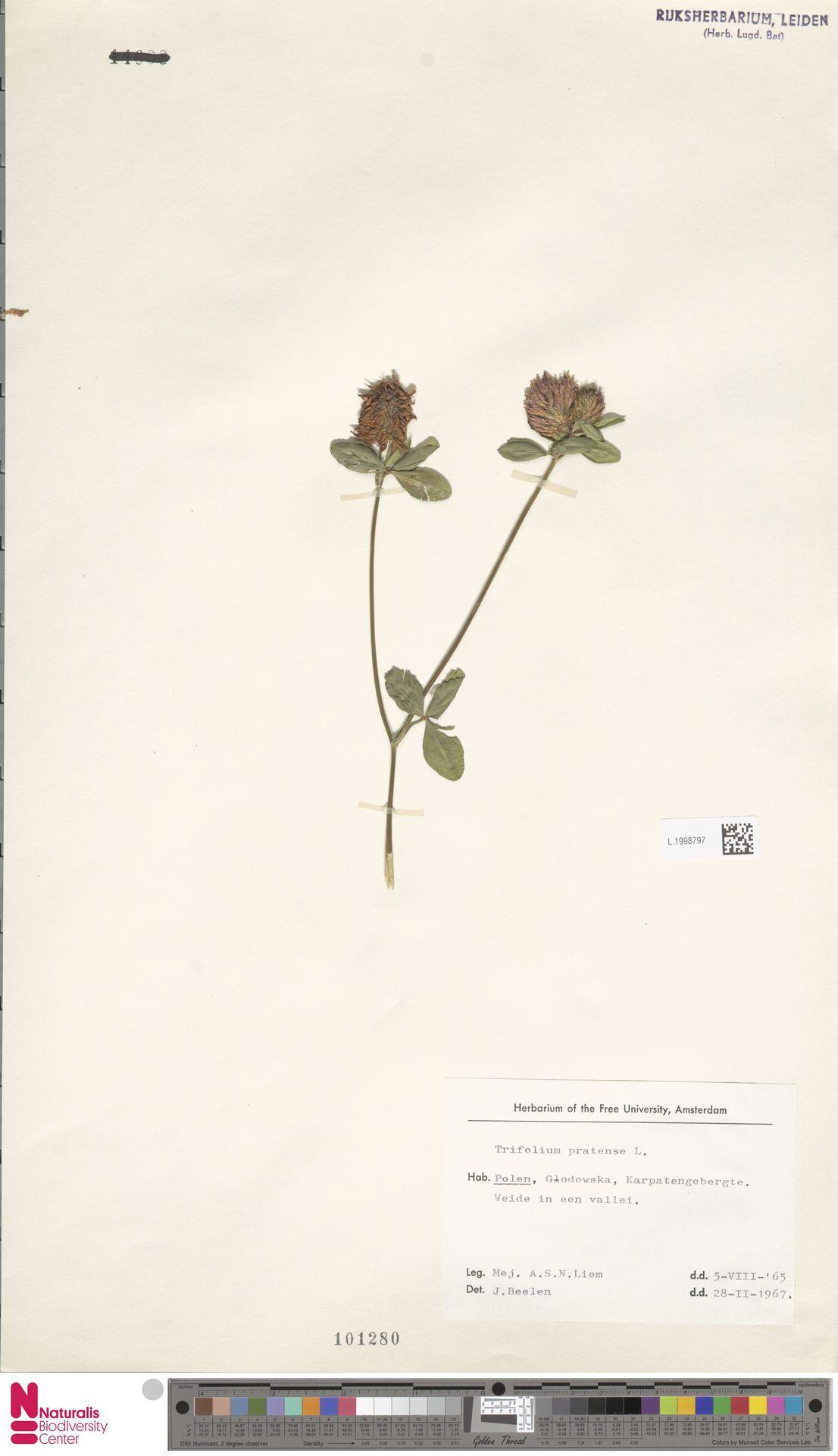 L.1998797 | Trifolium pratense L.