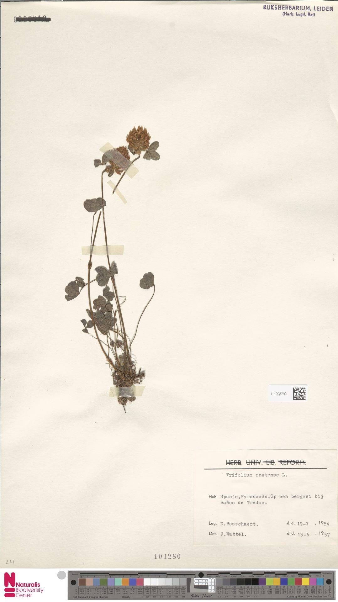 L.1998799 | Trifolium pratense L.