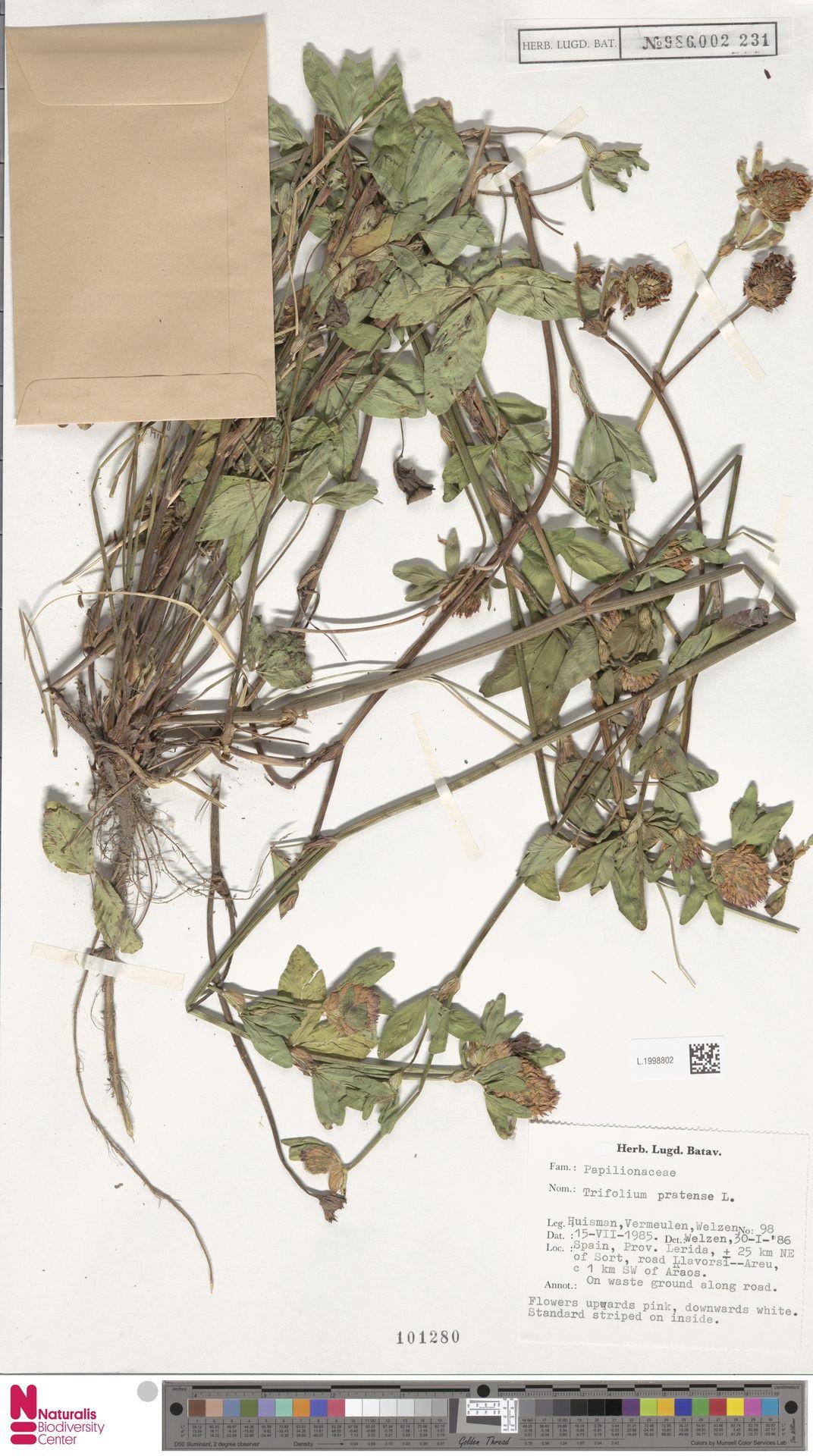 L.1998802   Trifolium pratense L.