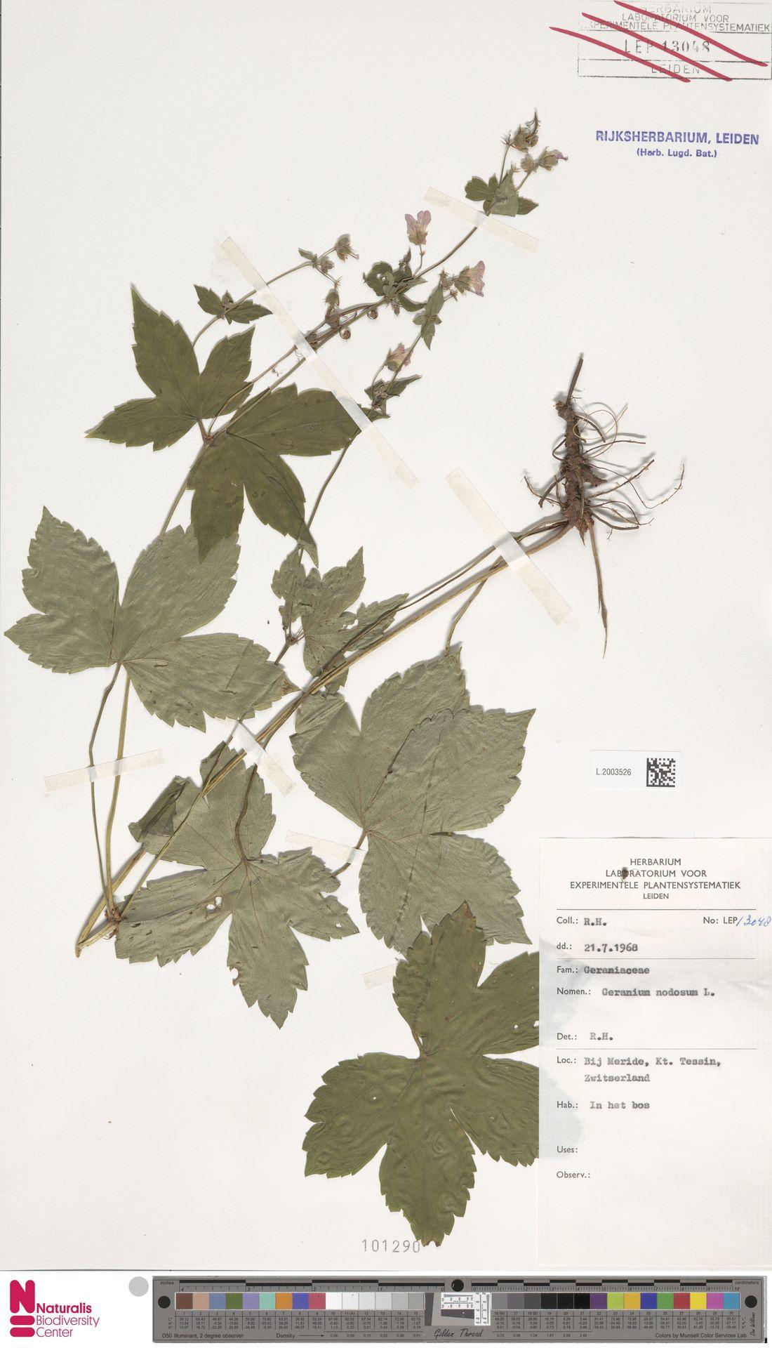 L.2003526 | Geranium nodosum L.
