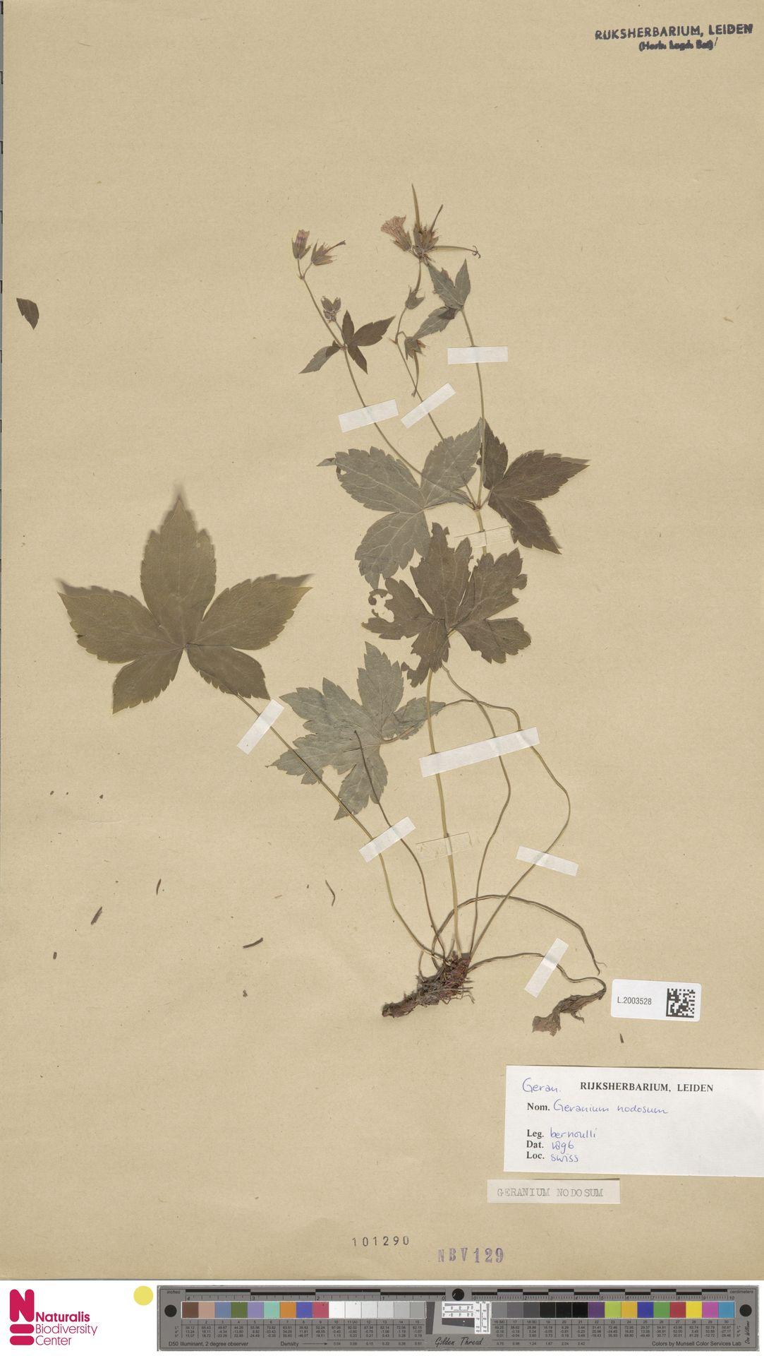 L.2003528 | Geranium nodosum L.