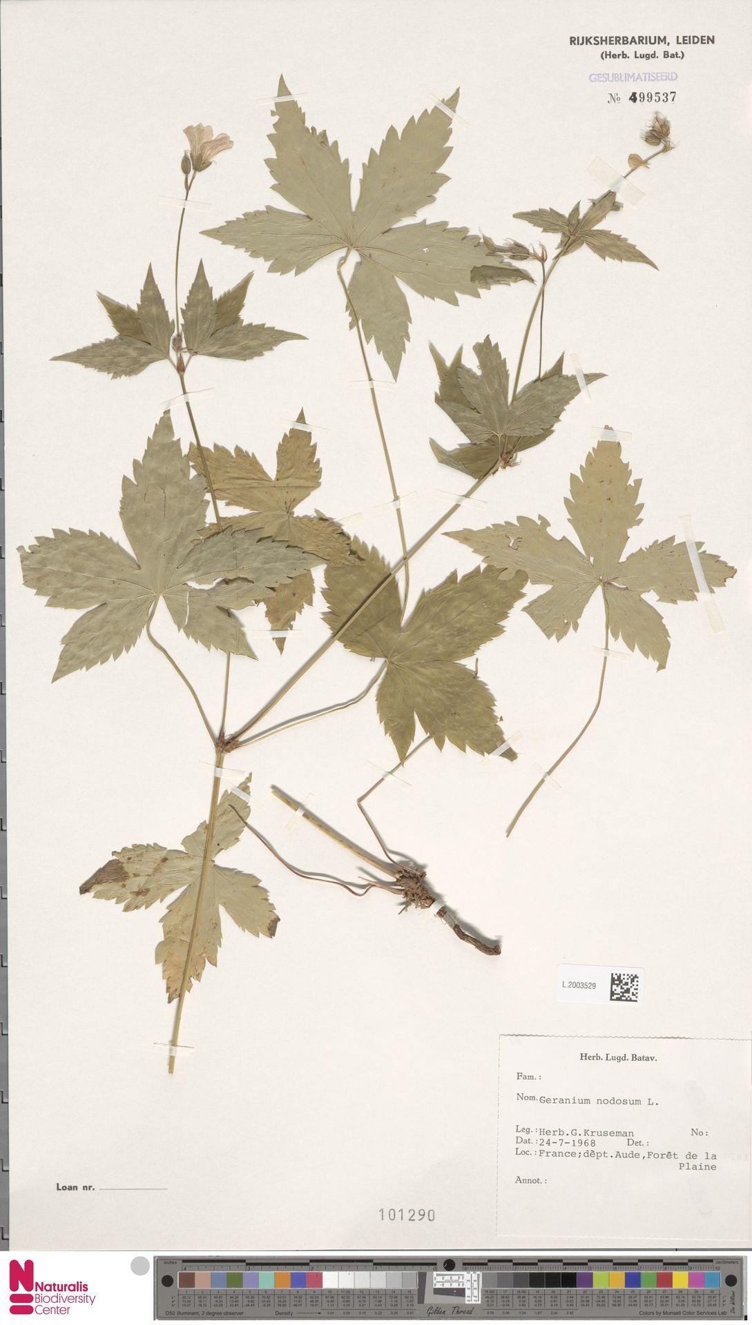 L.2003529 | Geranium nodosum L.