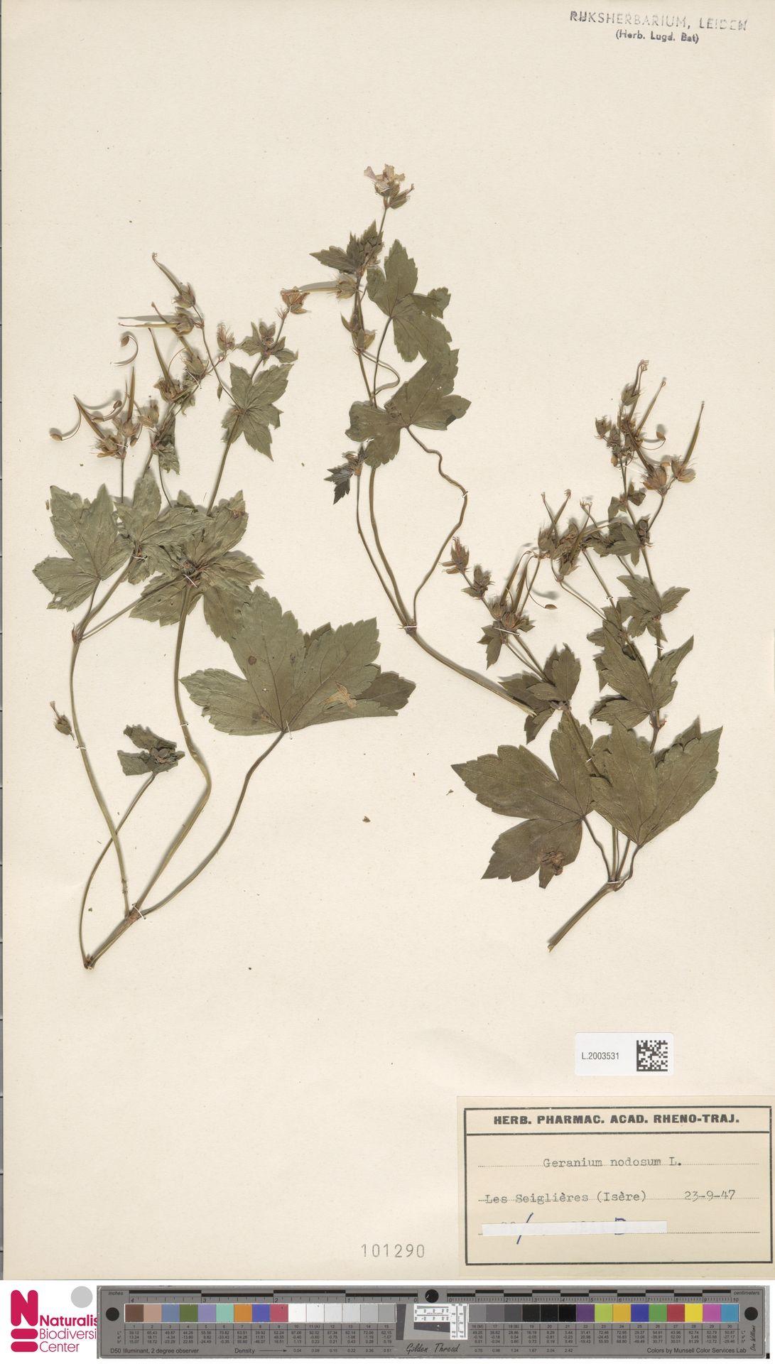 L.2003531 | Geranium nodosum L.