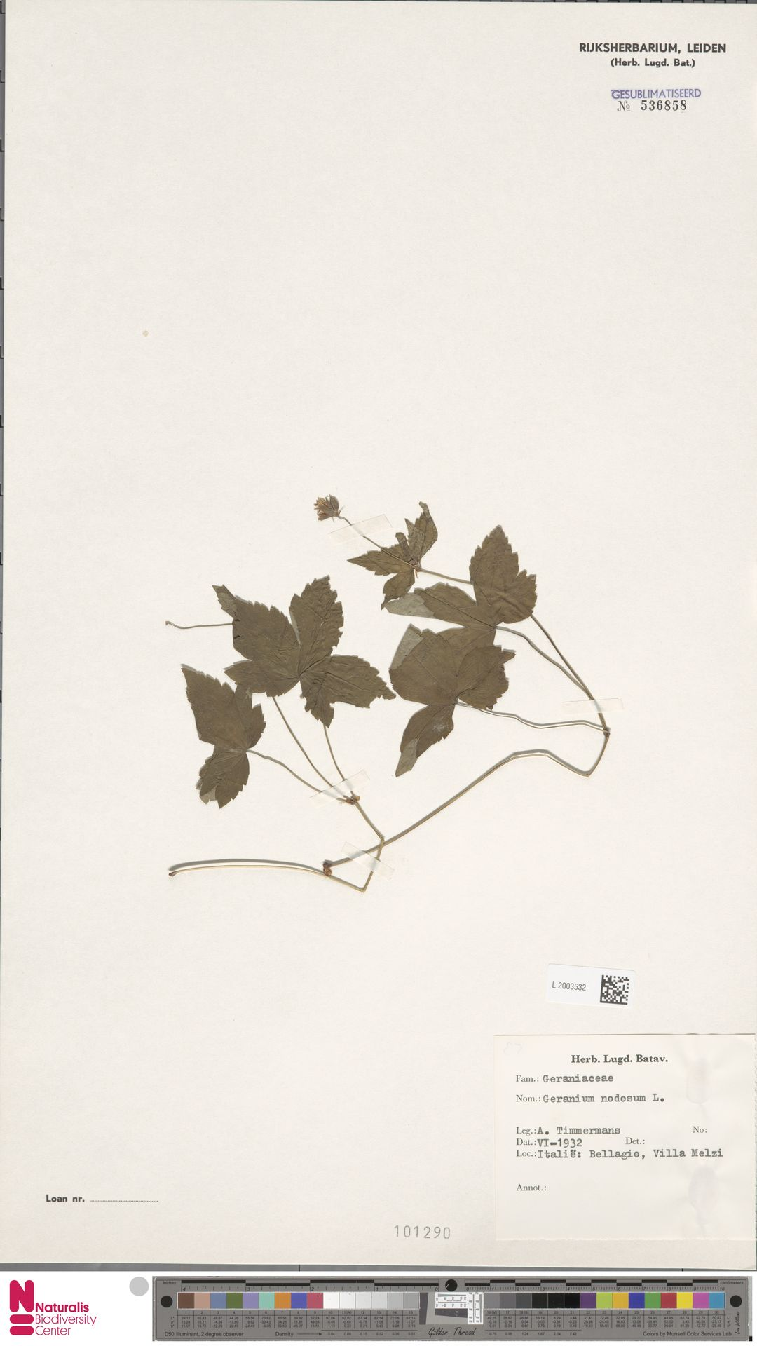 L.2003532 | Geranium nodosum L.