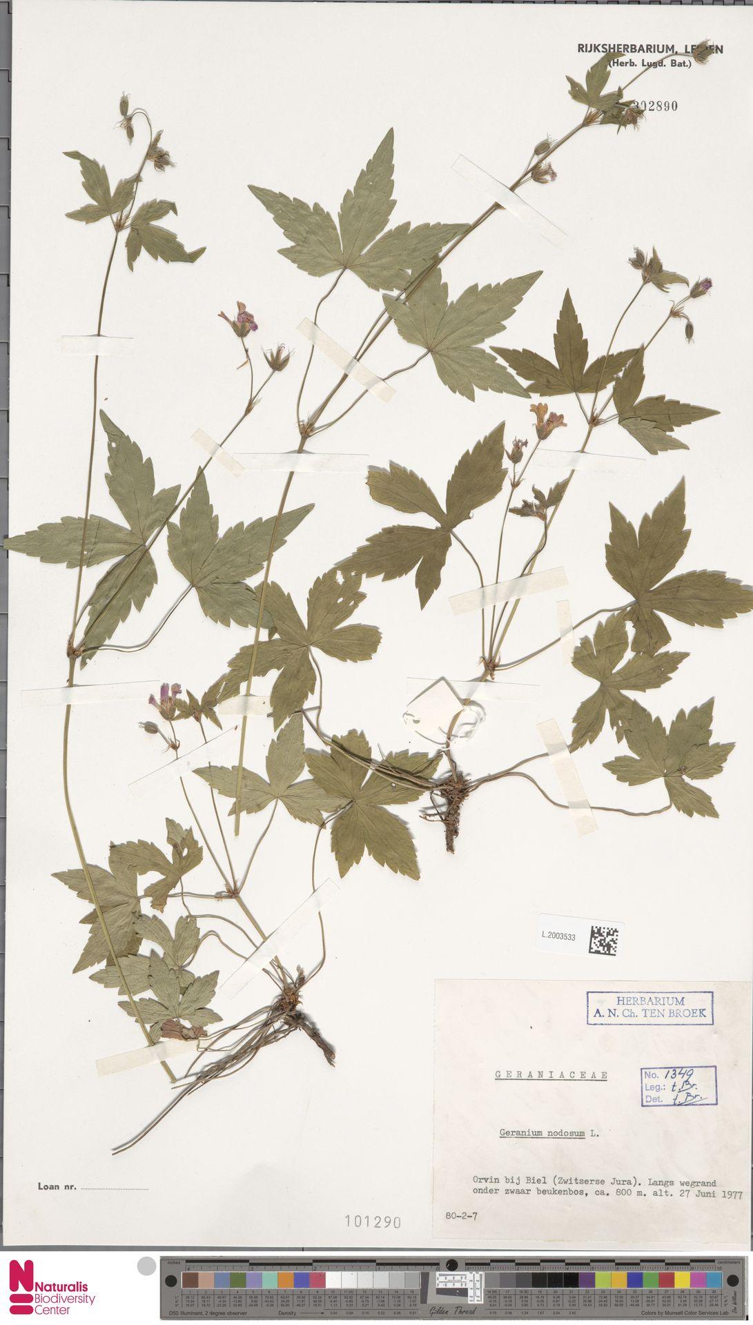 L.2003533 | Geranium nodosum L.
