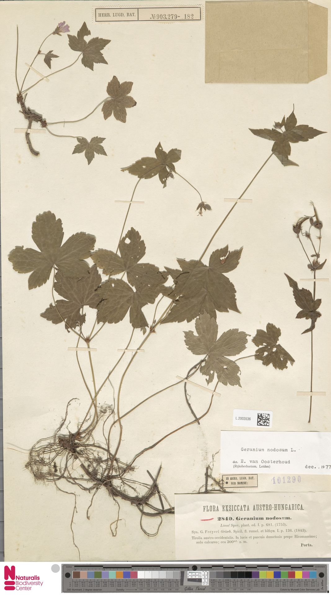 L.2003536   Geranium nodosum L.