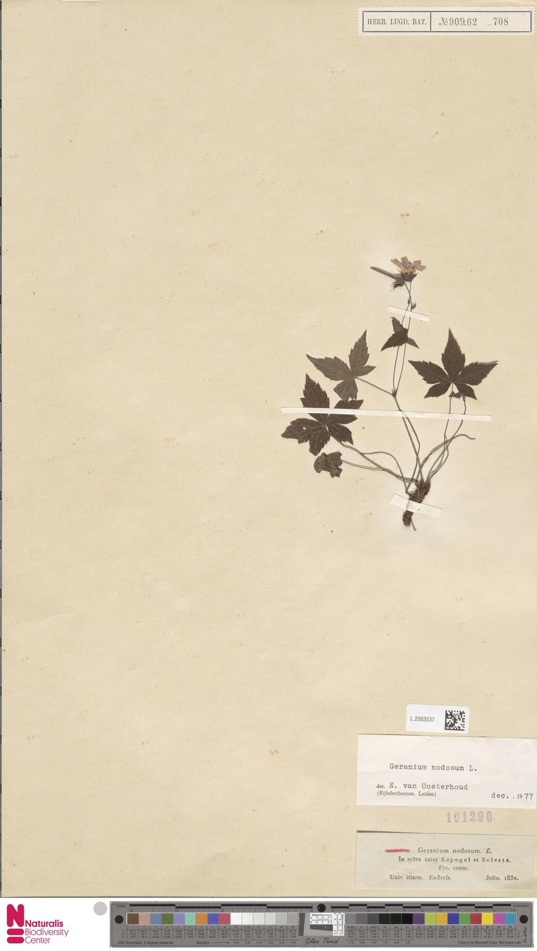 L.2003537 | Geranium nodosum L.