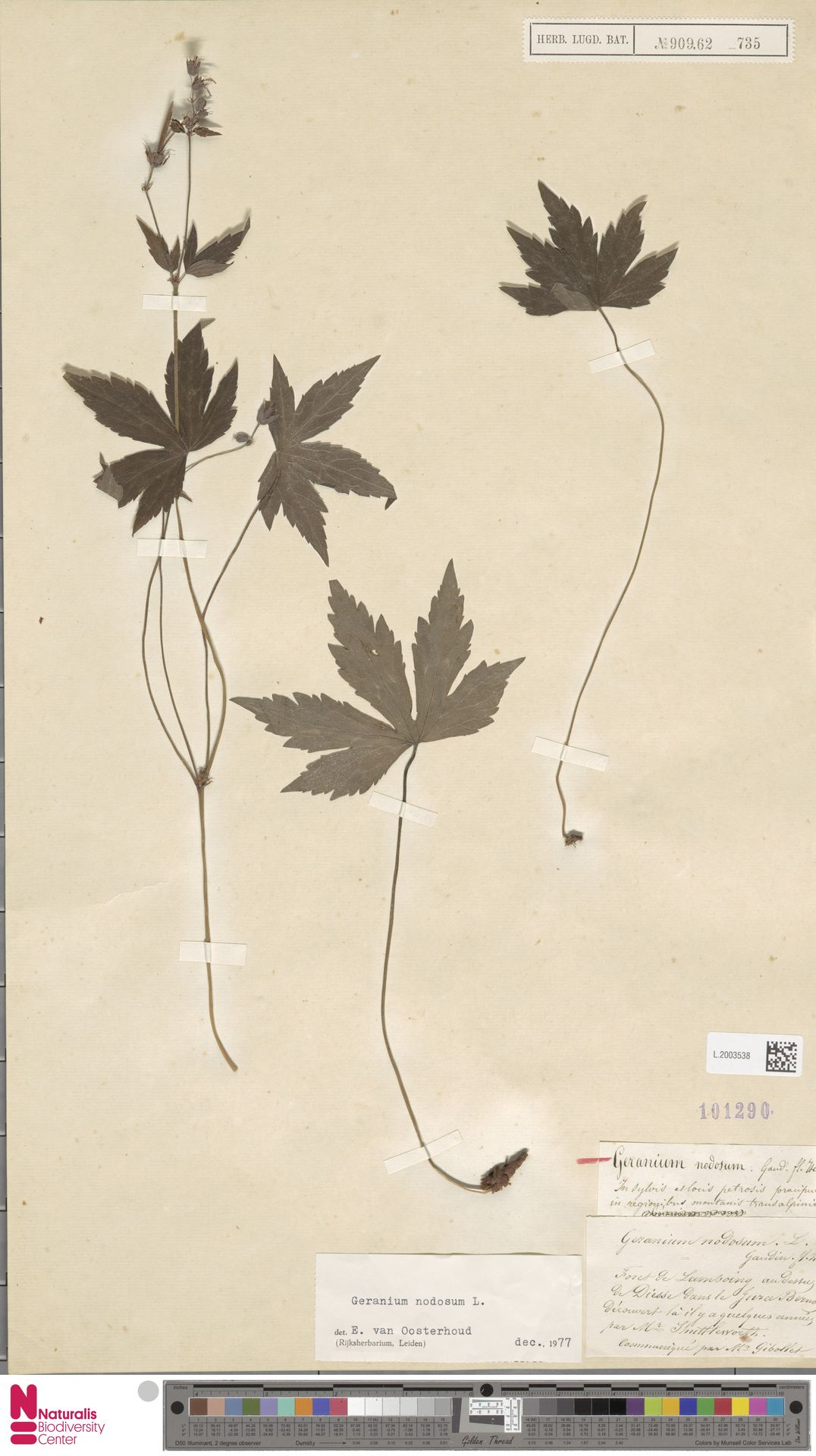 L.2003538 | Geranium nodosum L.