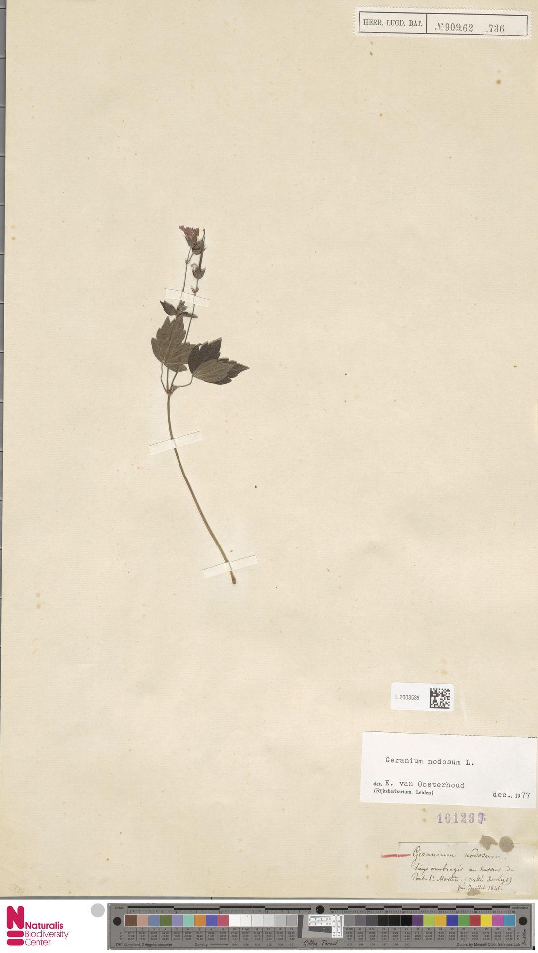 L.2003539 | Geranium nodosum L.