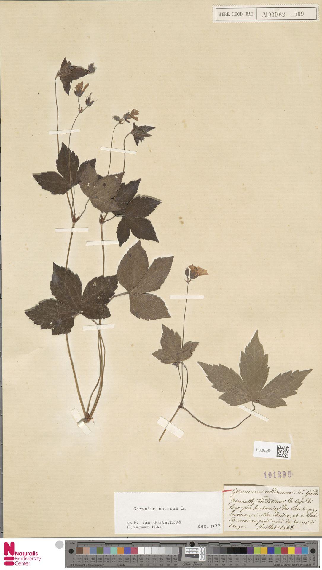 L.2003540 | Geranium nodosum L.