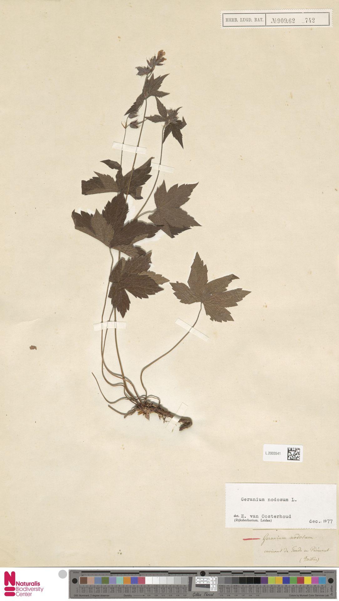 L.2003541 | Geranium nodosum L.