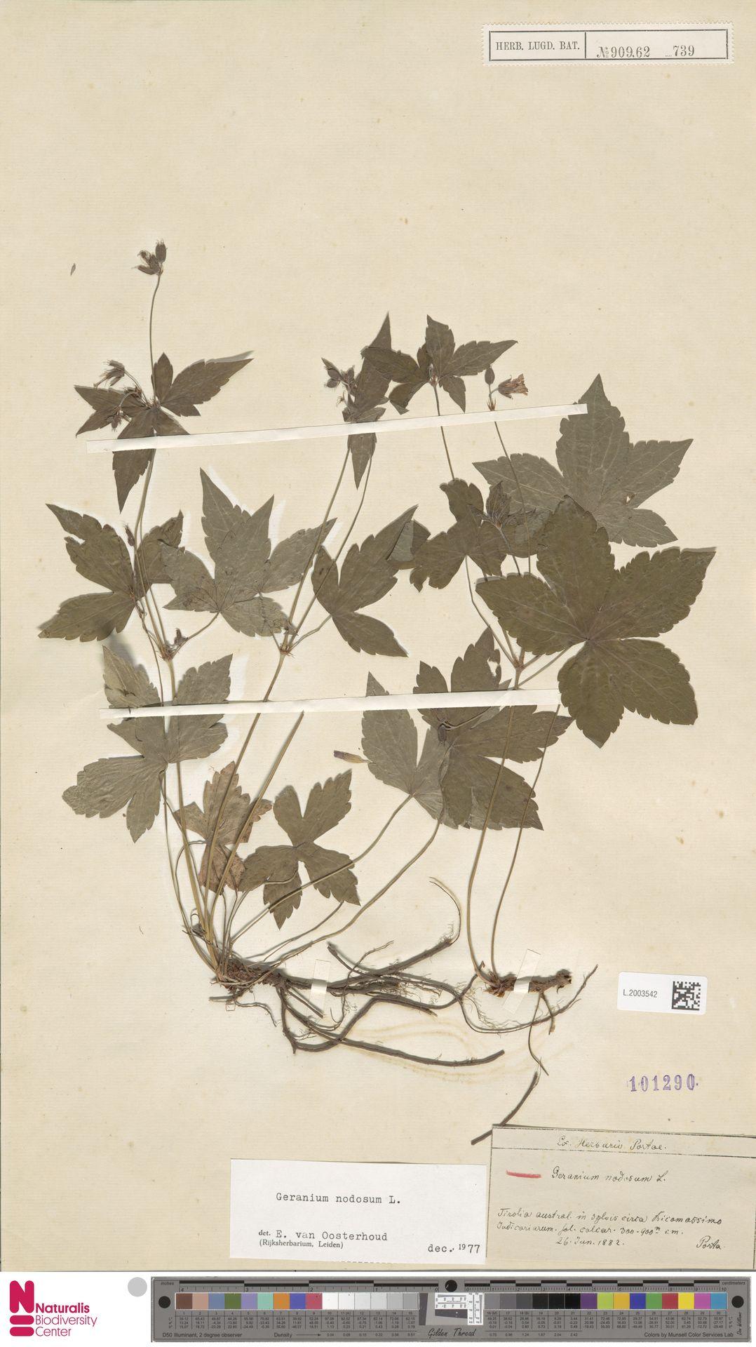 L.2003542   Geranium nodosum L.