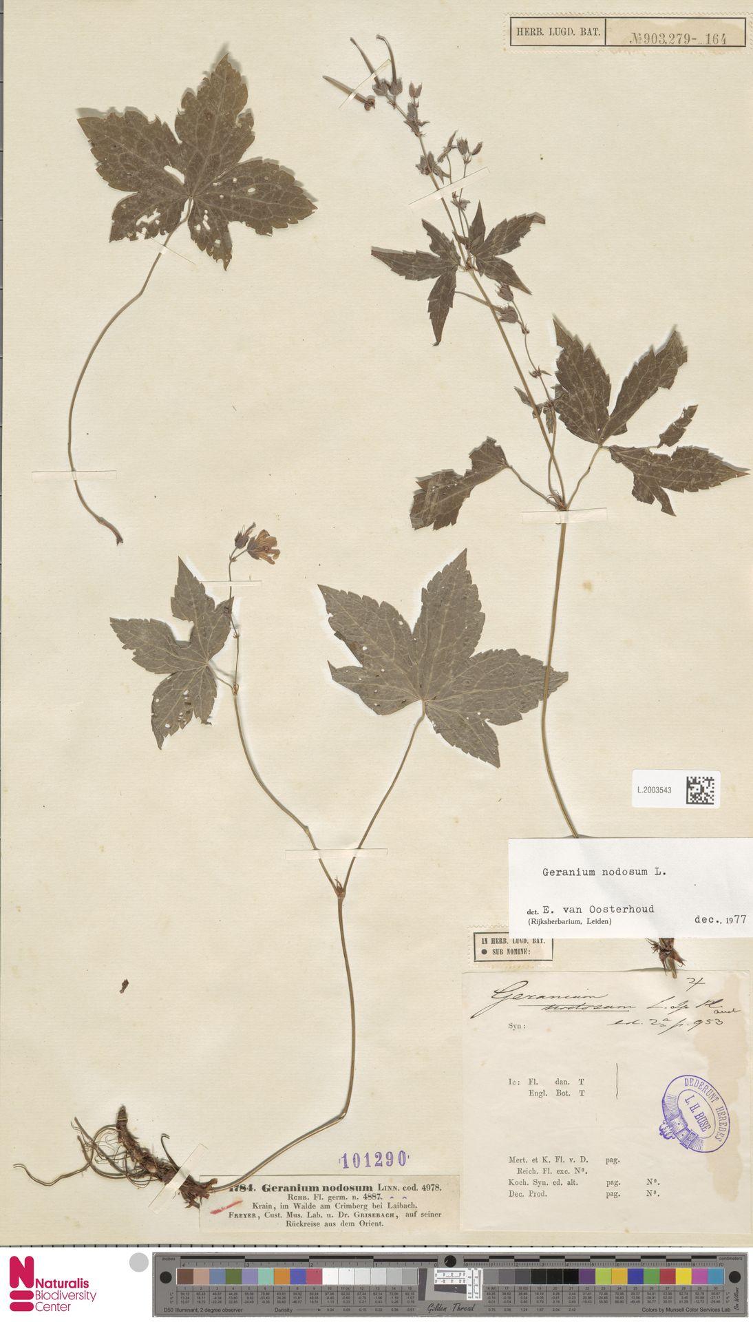 L.2003543   Geranium nodosum L.