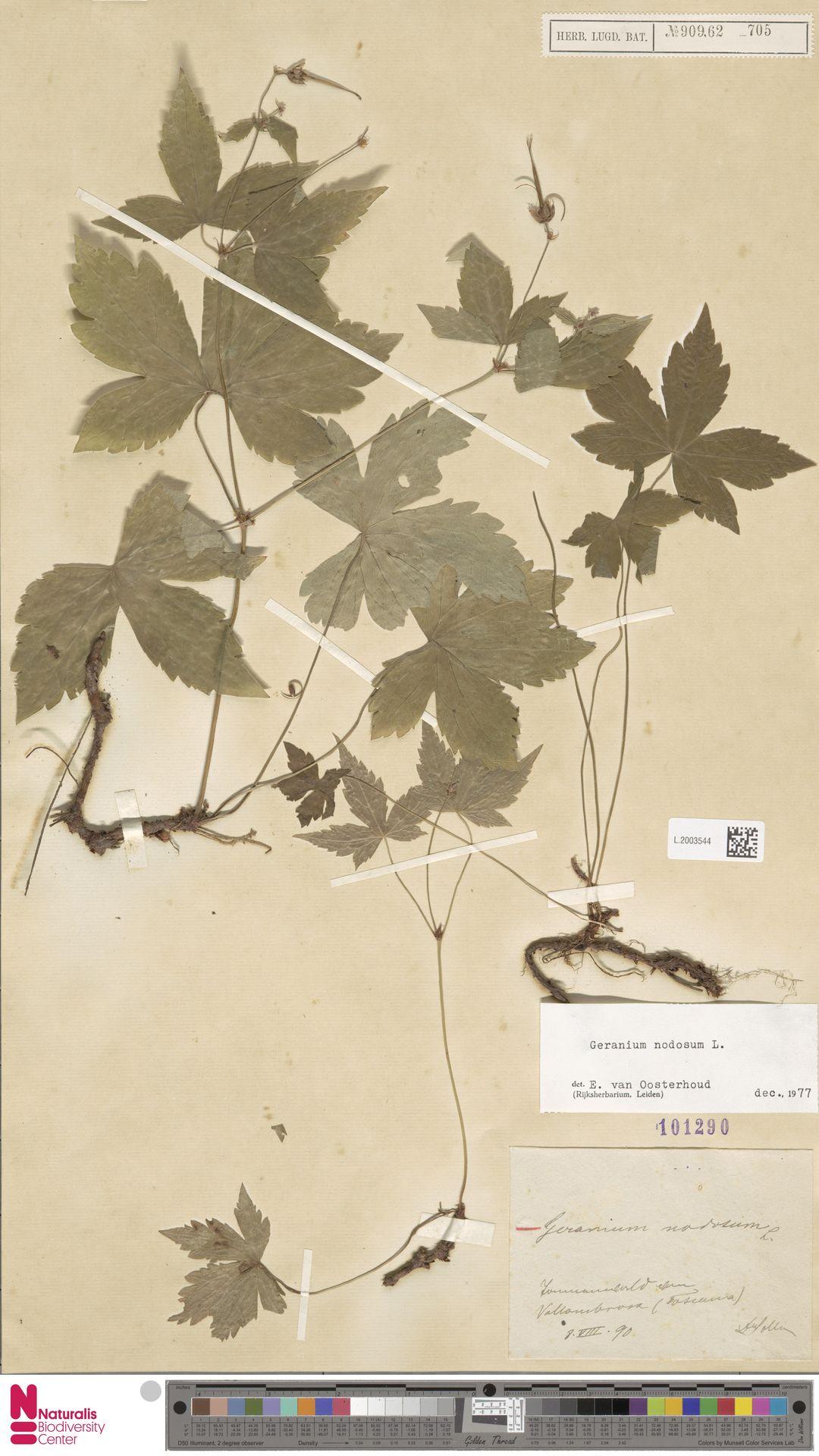 L.2003544 | Geranium nodosum L.