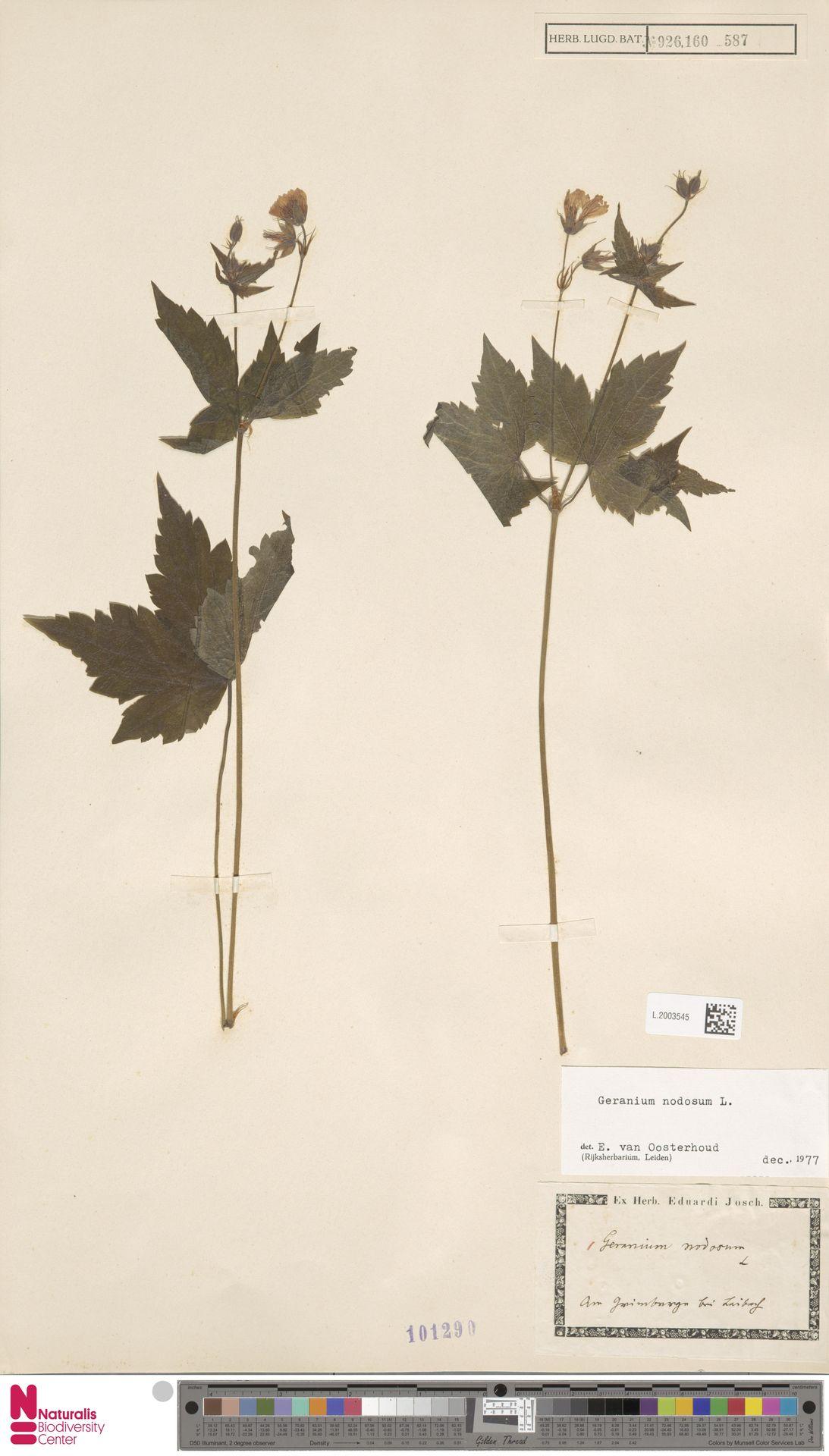 L.2003545 | Geranium nodosum L.