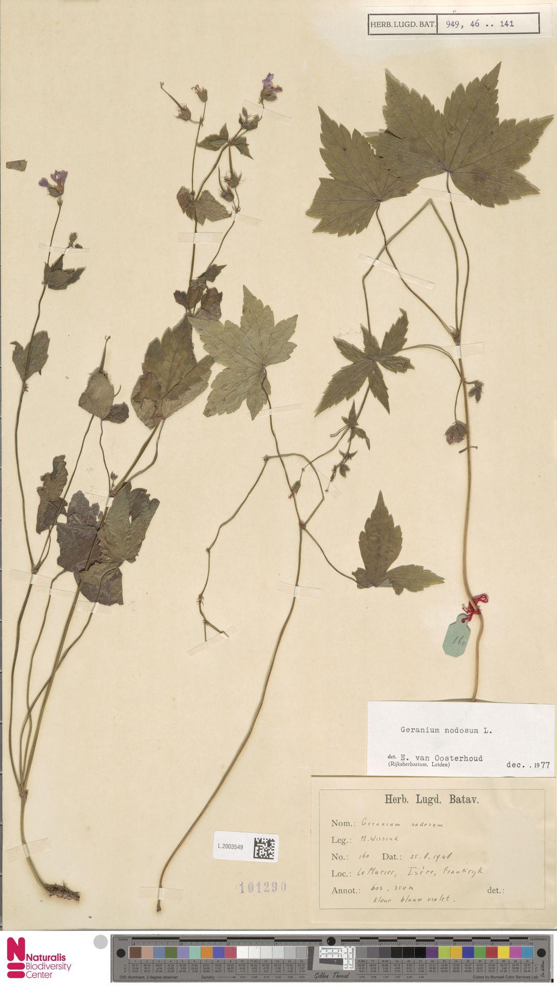 L.2003549 | Geranium nodosum L.