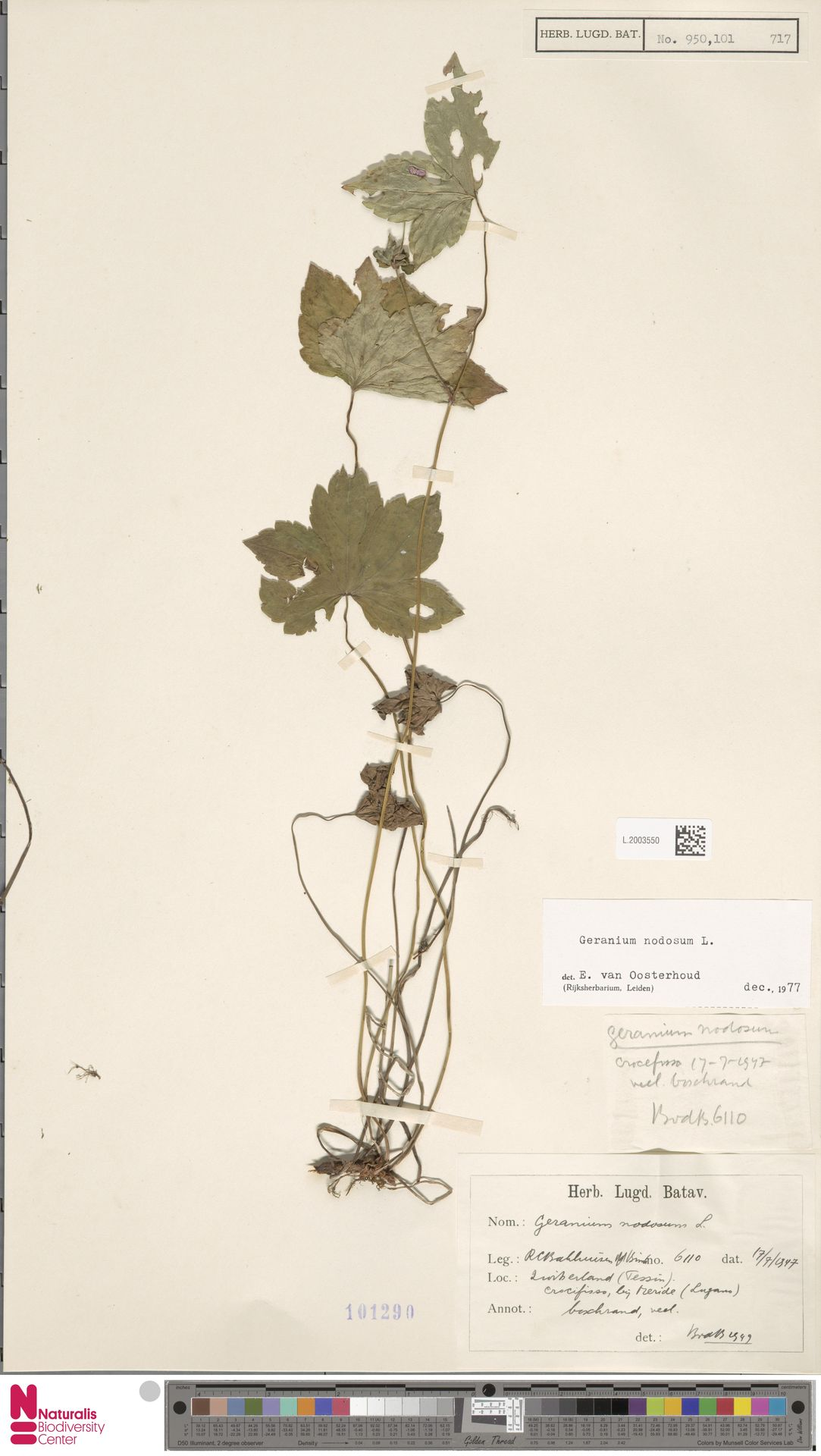 L.2003550 | Geranium nodosum L.