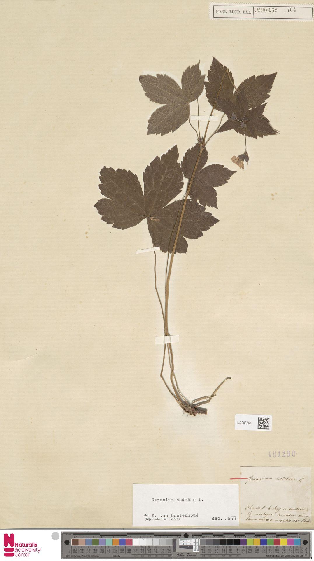 L.2003551 | Geranium nodosum L.