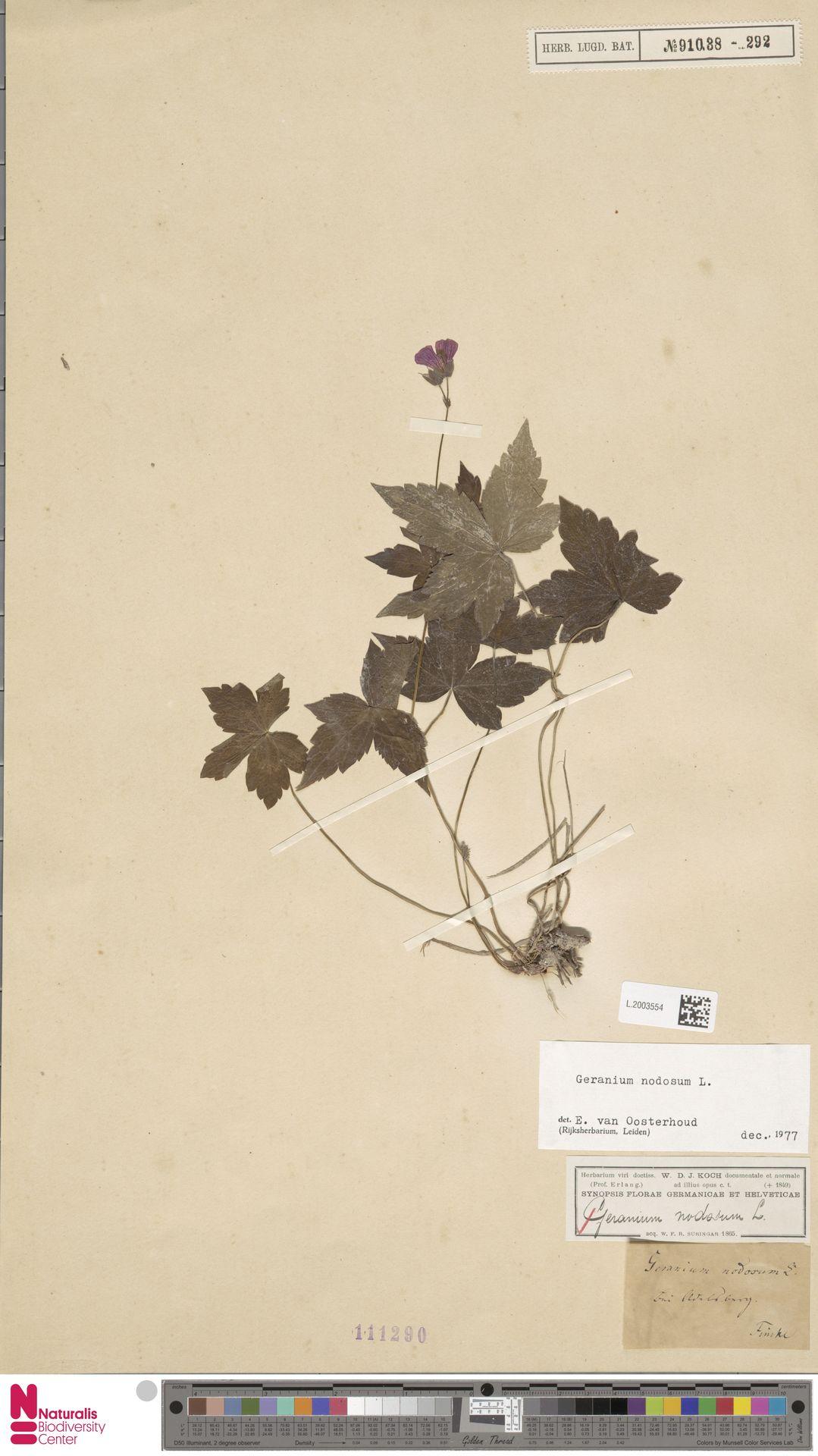 L.2003554   Geranium nodosum L.