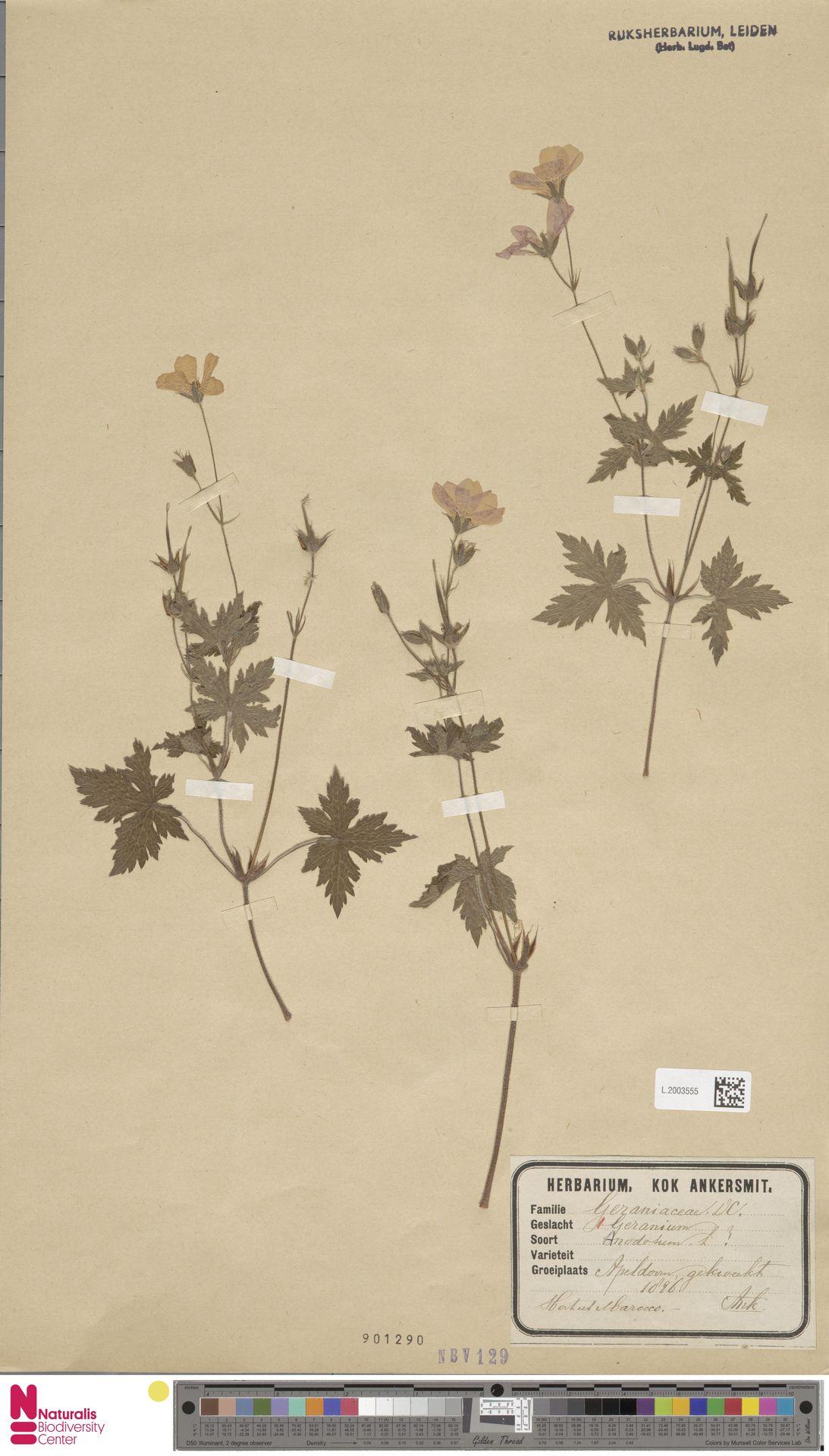 L.2003555 | Geranium nodosum L.