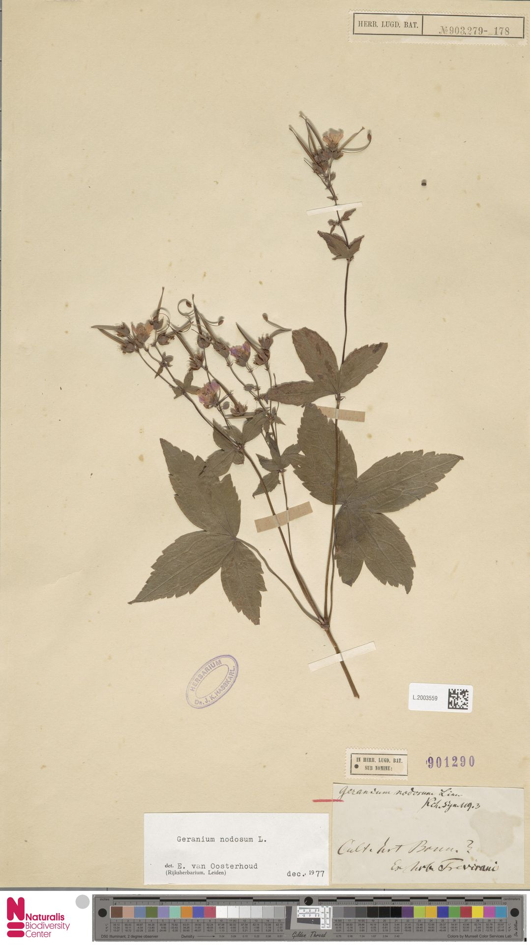 L.2003559 | Geranium nodosum L.