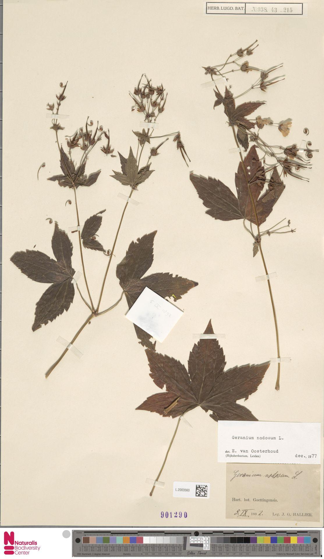 L.2003560 | Geranium nodosum L.